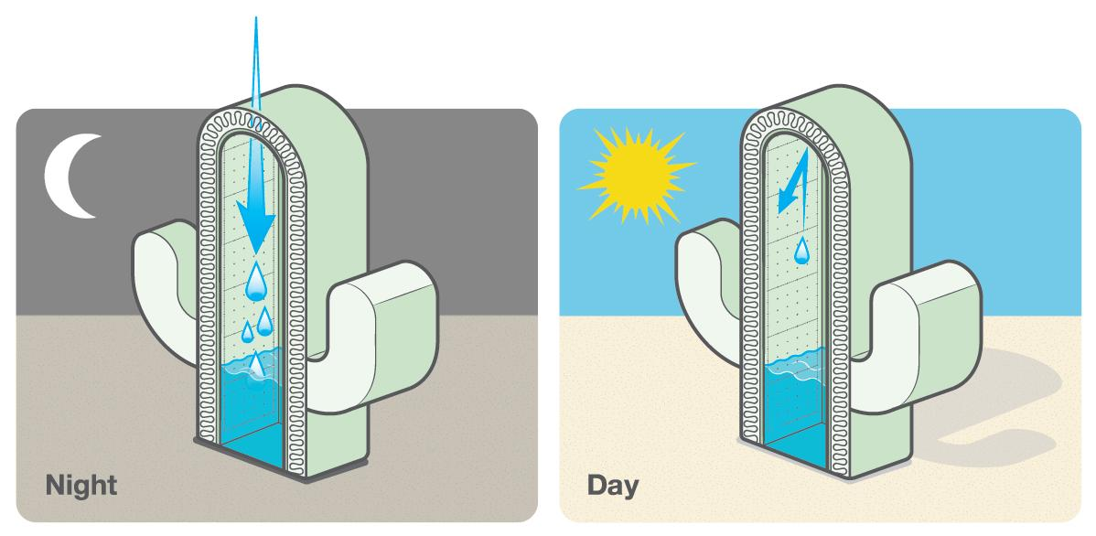 Cactus and water storage