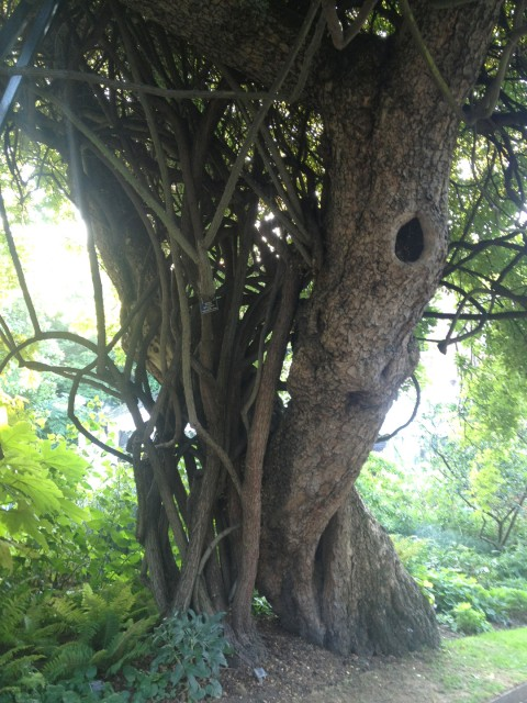 the trunk of the same tree; you can also see the thick canes of a climbing rose that grows up into it