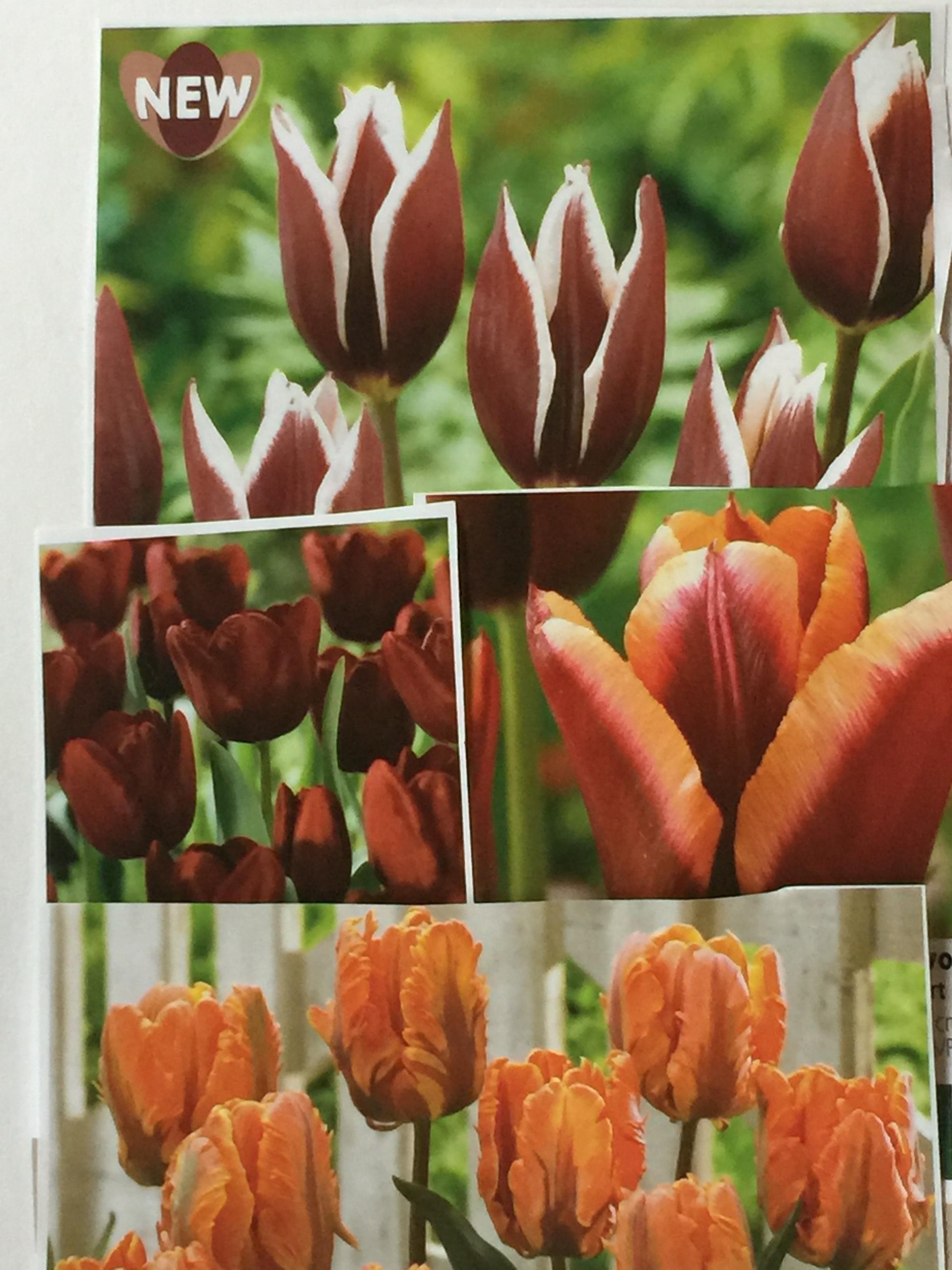 Linda's special tulip mix