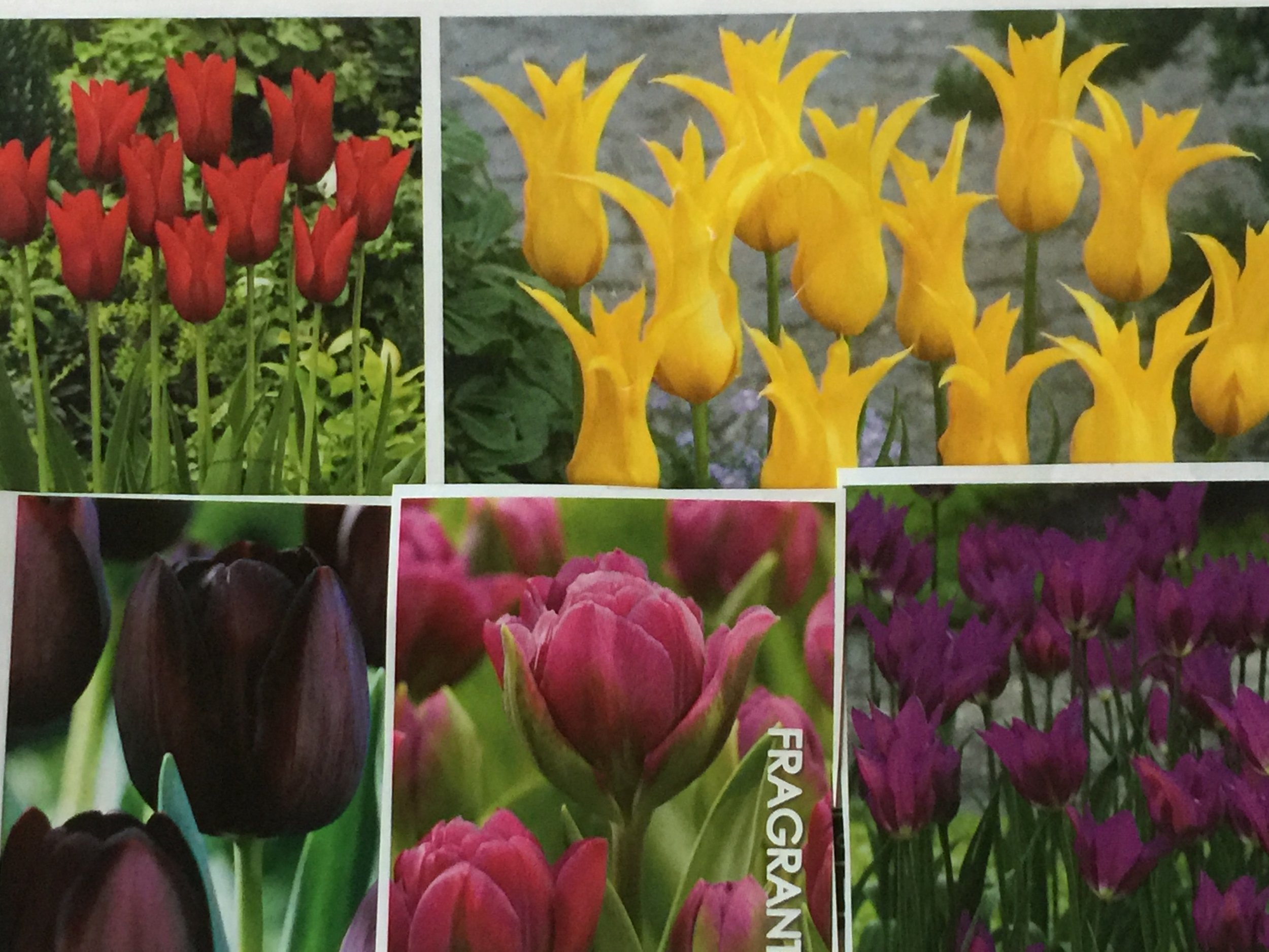 Mary Keen tulip mix