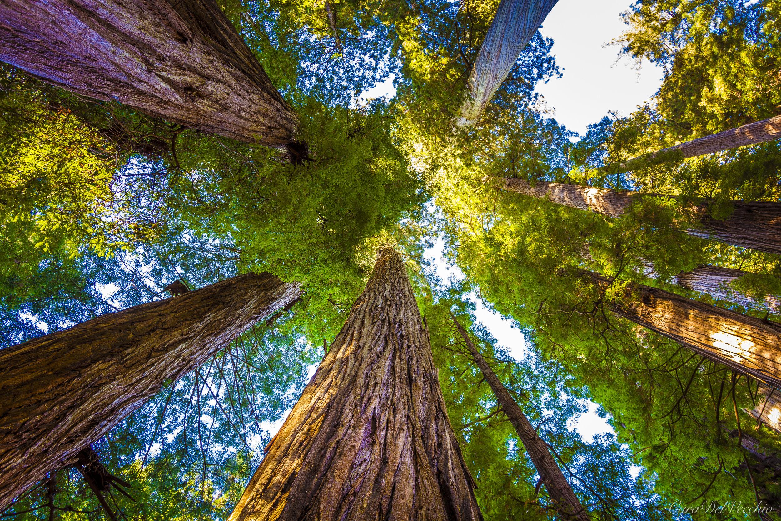 IMAGE #3 (Redwoods)