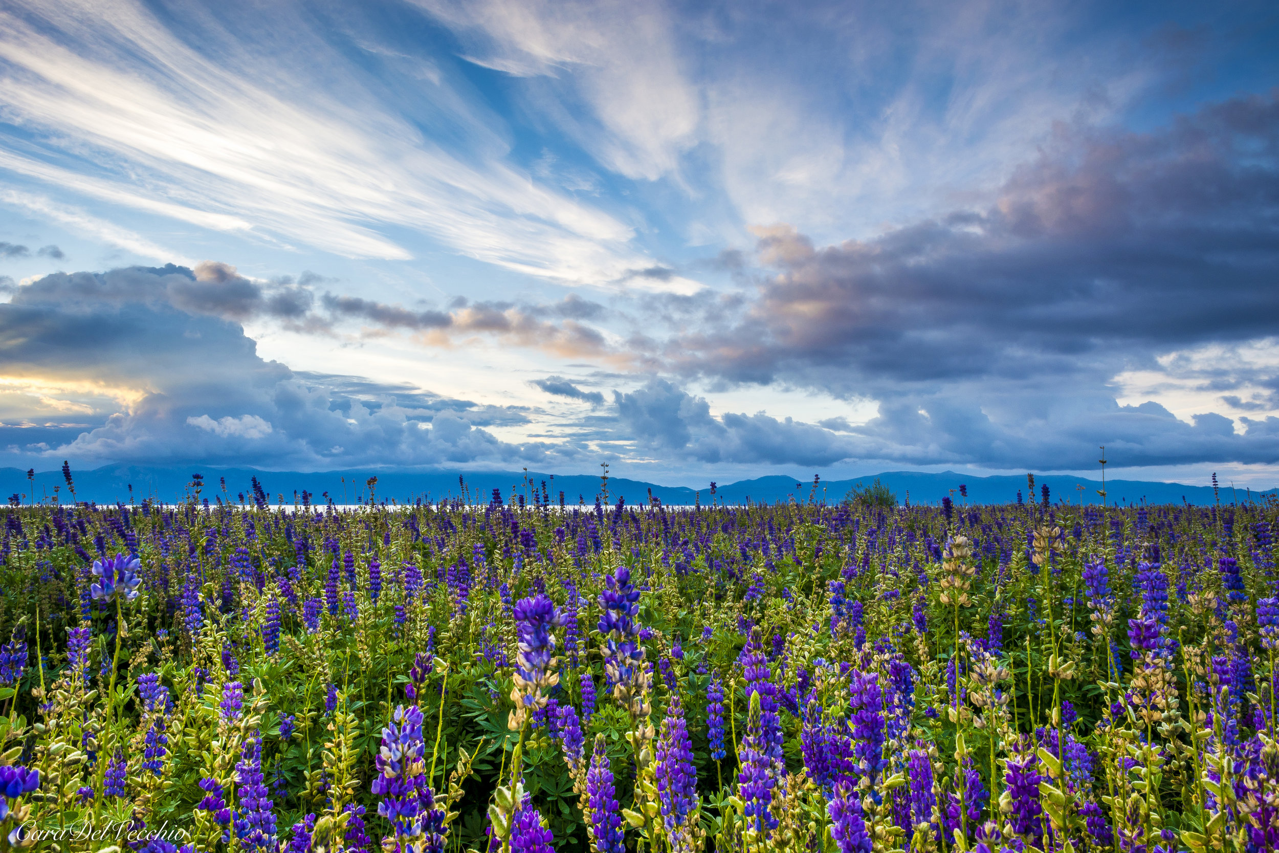 IMAGE #10 (Lupines)