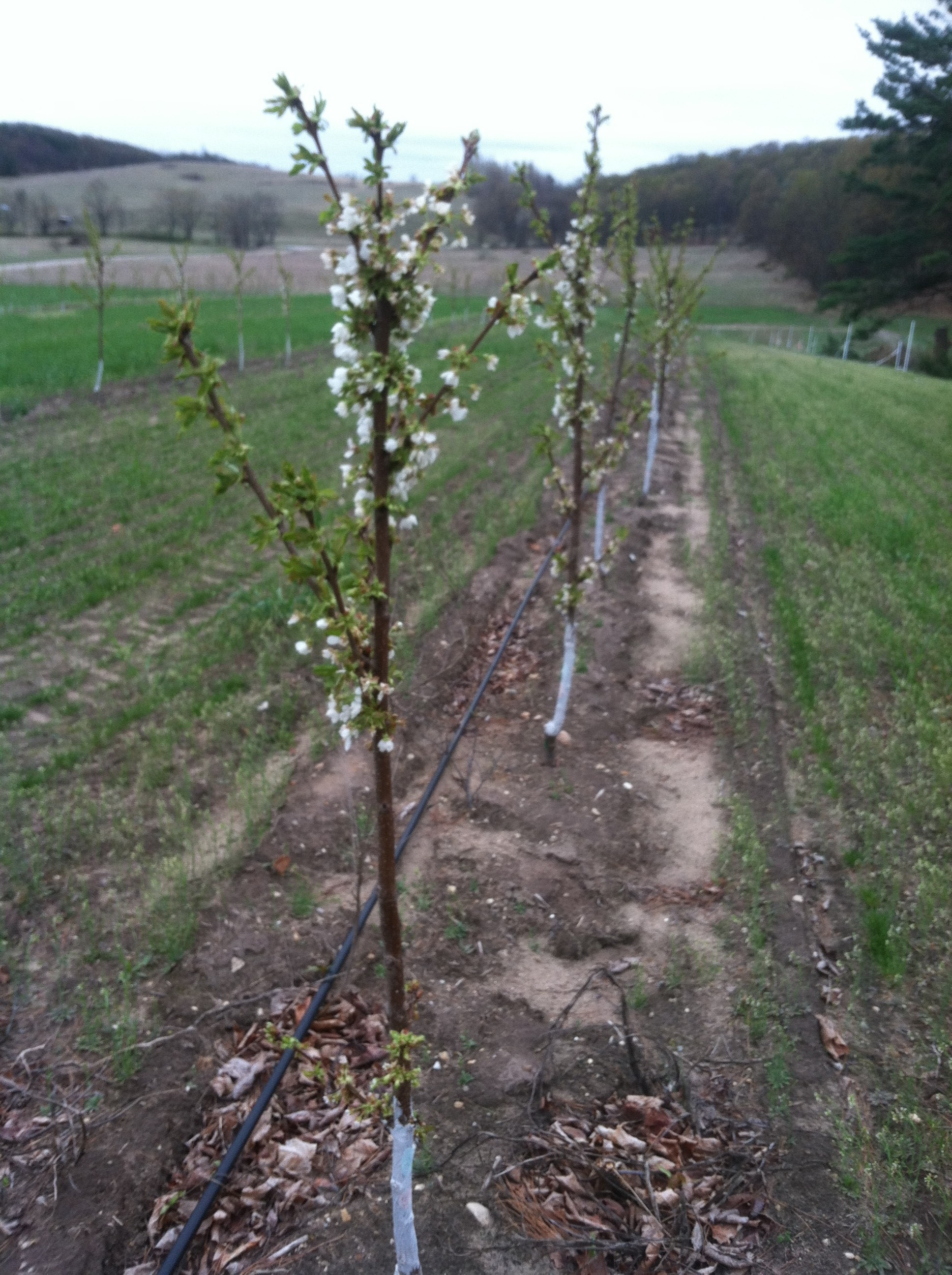 Blossoms-2012-e1406734767971.jpg