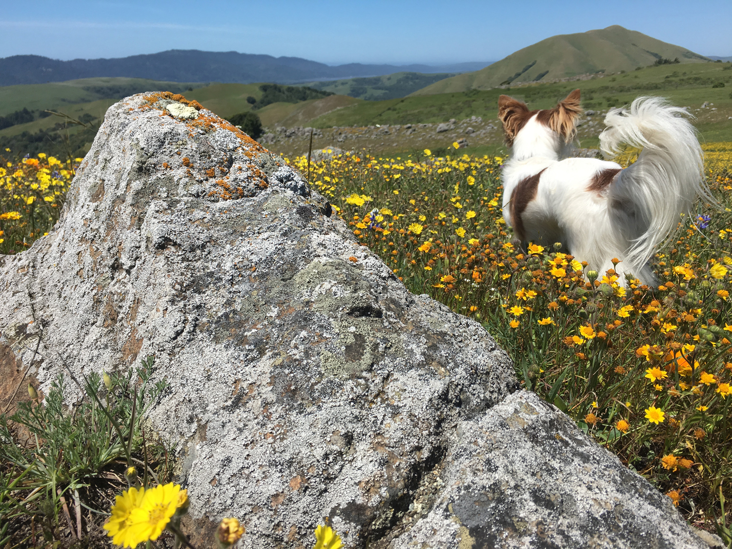 Point Reyes vista with dog, rock and poppies.