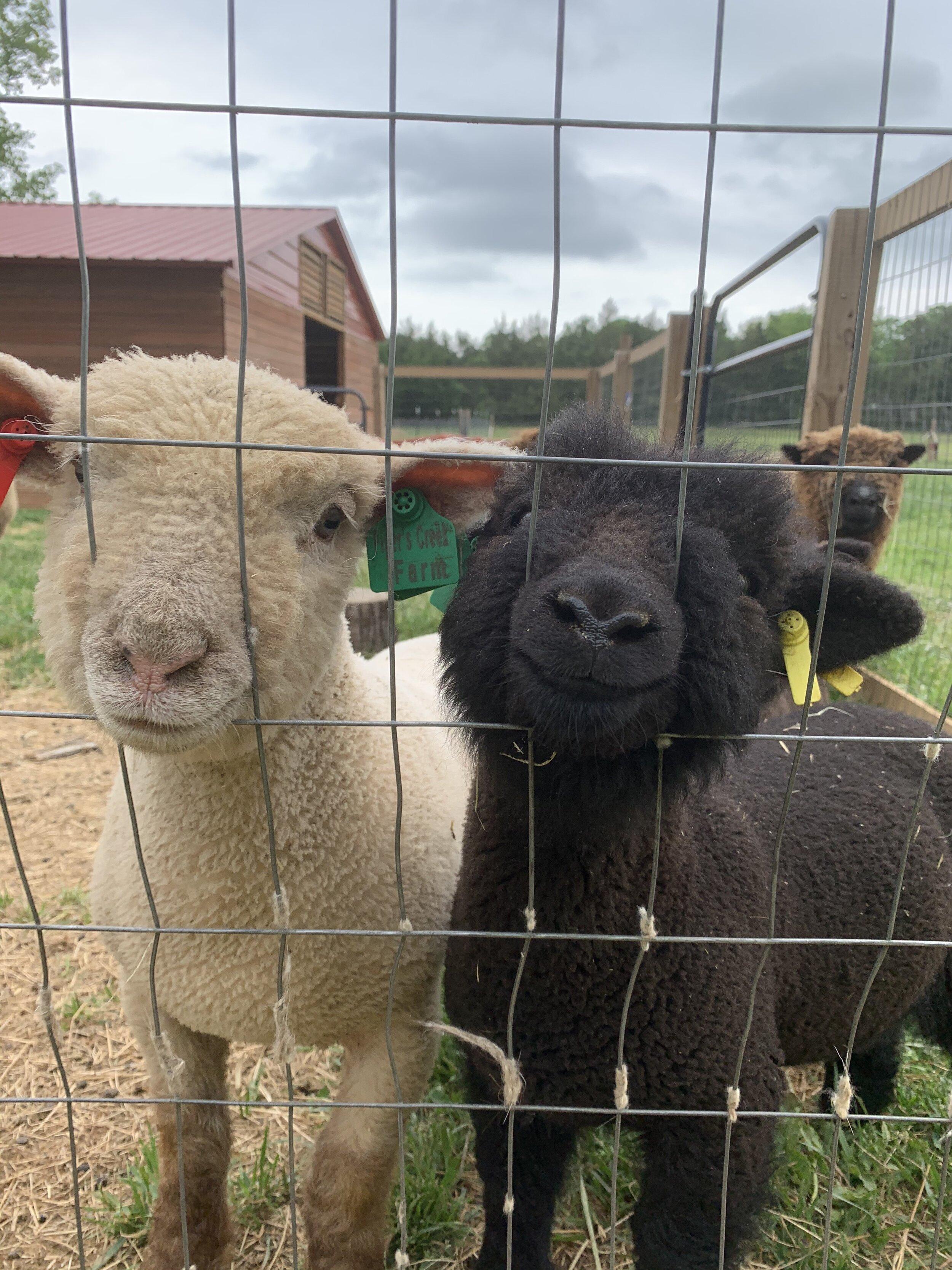 Black Babydoll Sheep