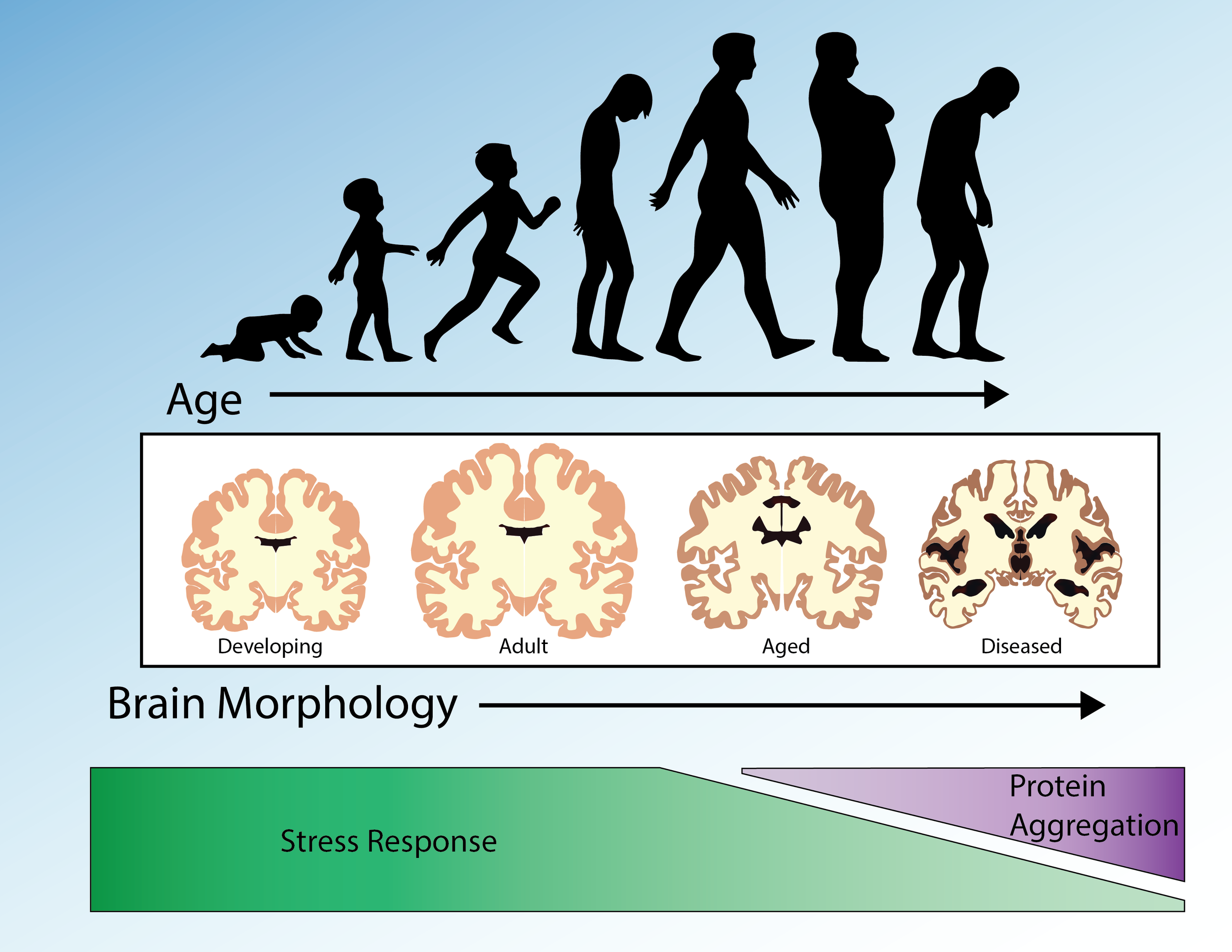 Decline of Protein Homeostasis with Age