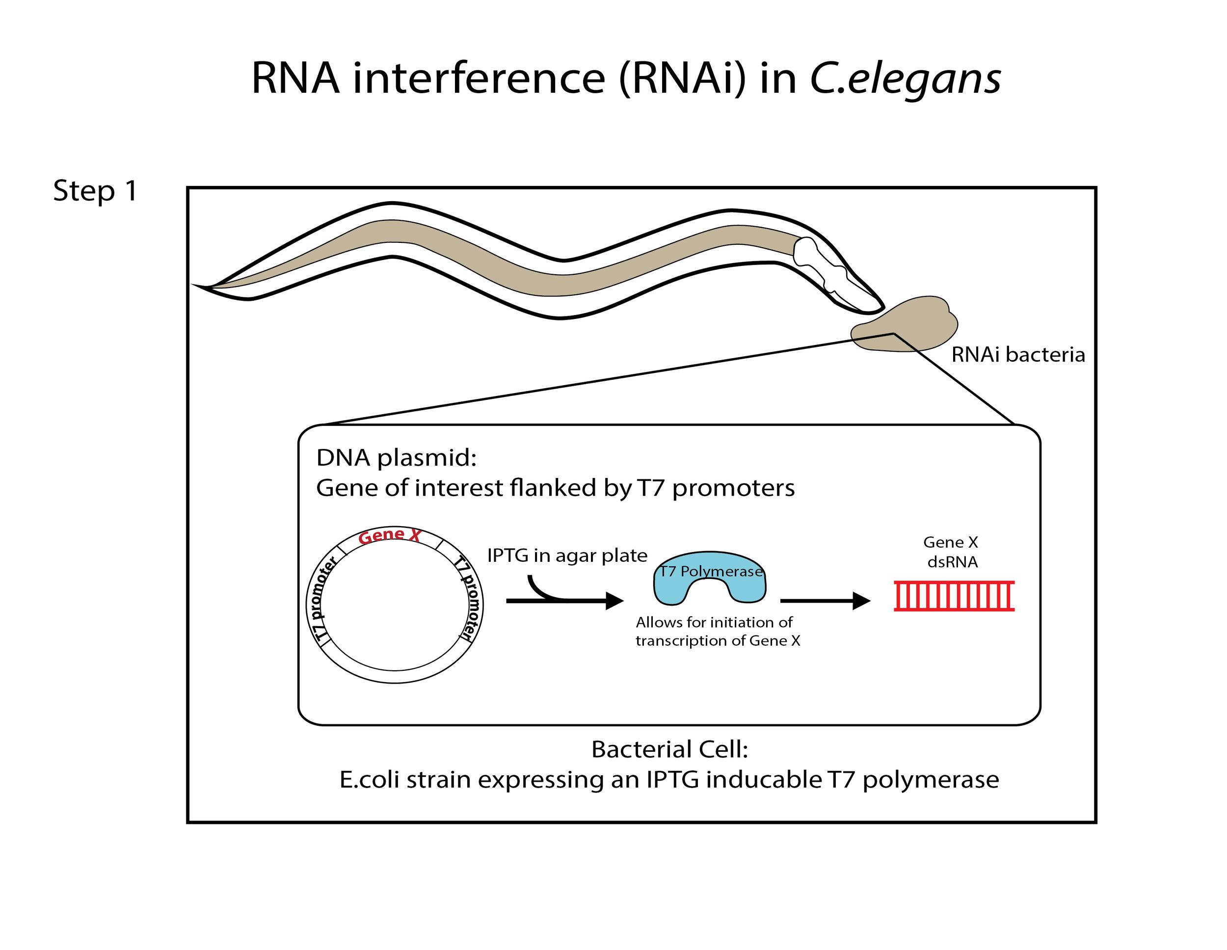 RNAi in C.elegans Part I
