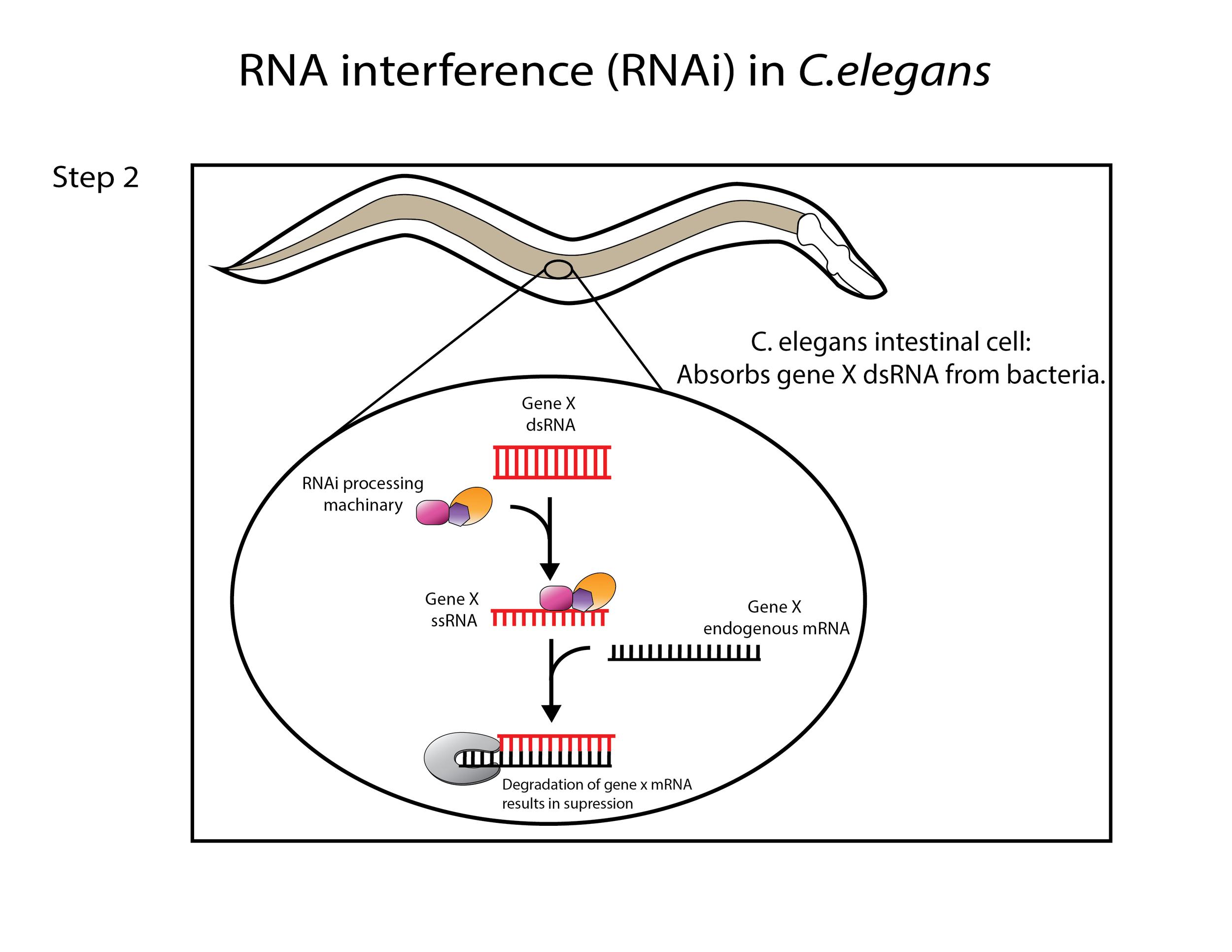 RNAi in C.elegans Part II