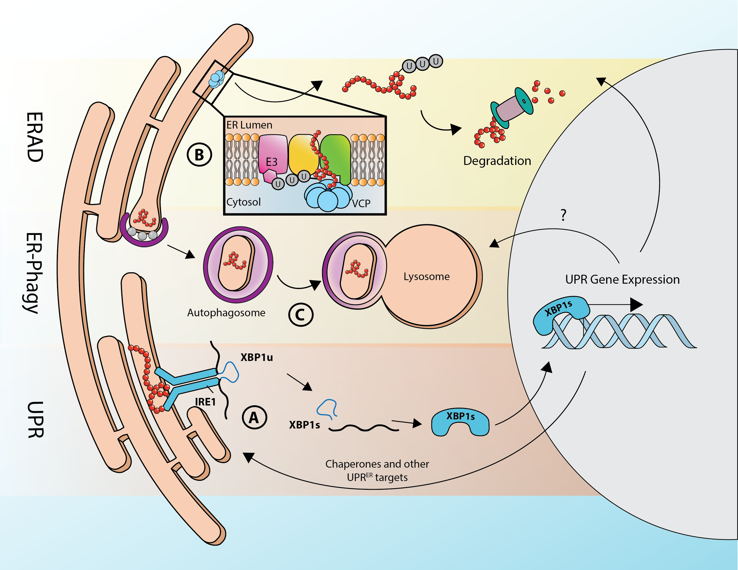 How the Cell Deals with ER Stress