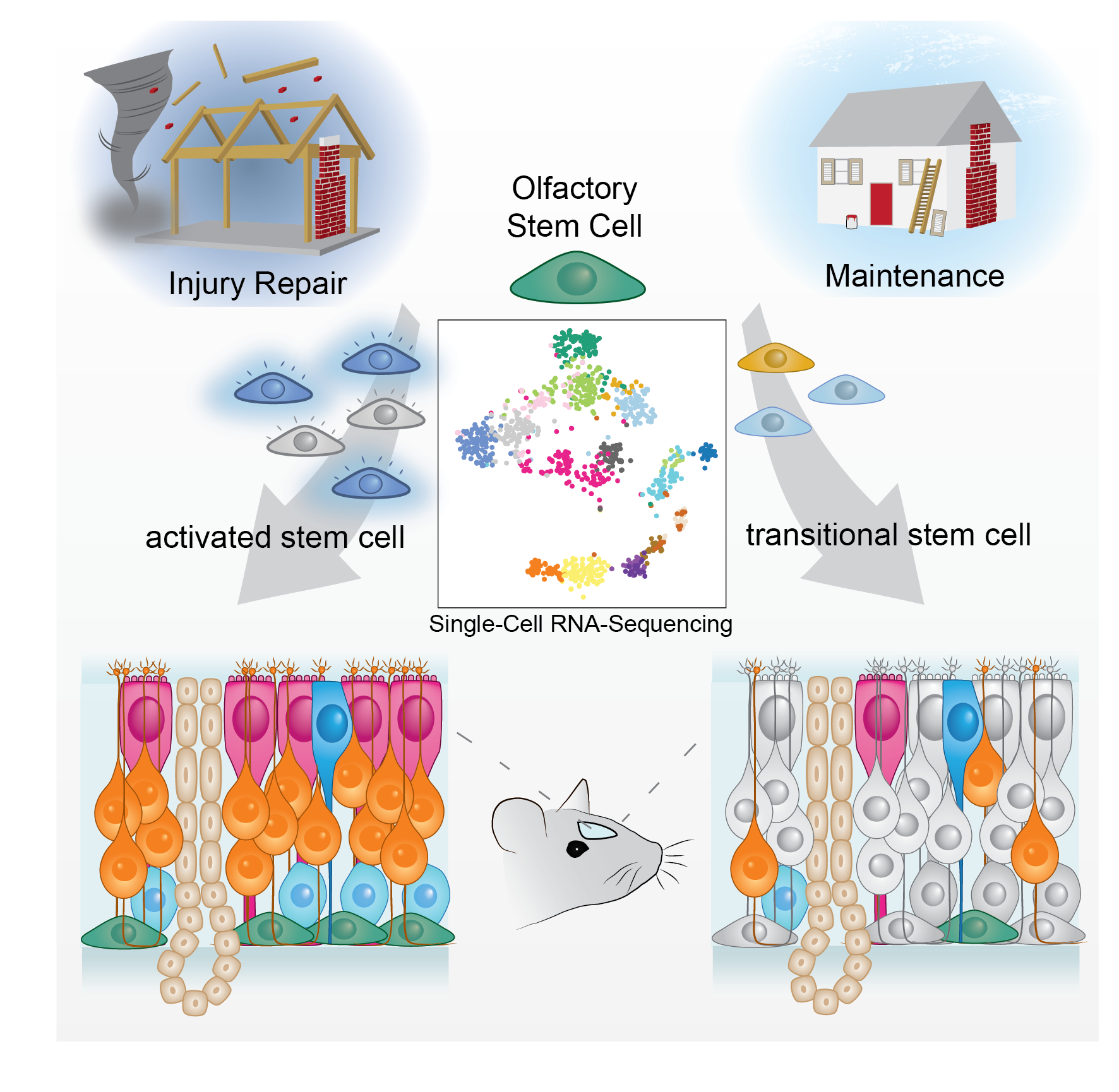 Transient Olfactory Stem Cell States