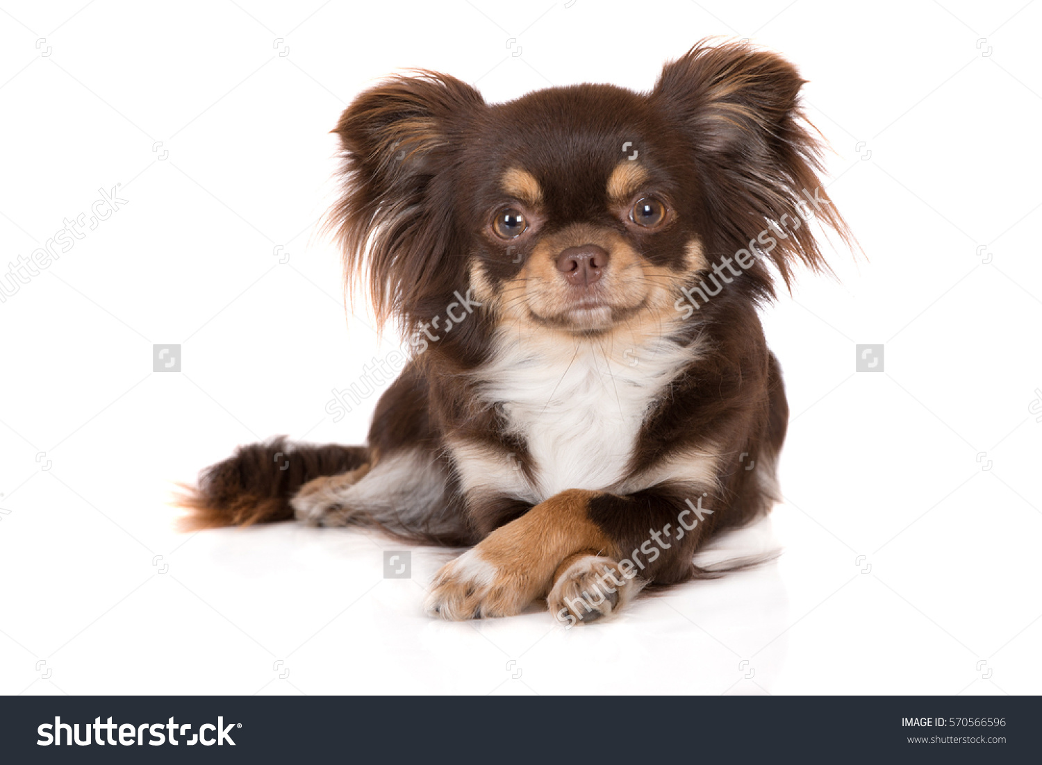 stock-photo-brown-tricolor-chihuahua-dog-lying-down-with-crossed-paws-on-white-570566596.jpg
