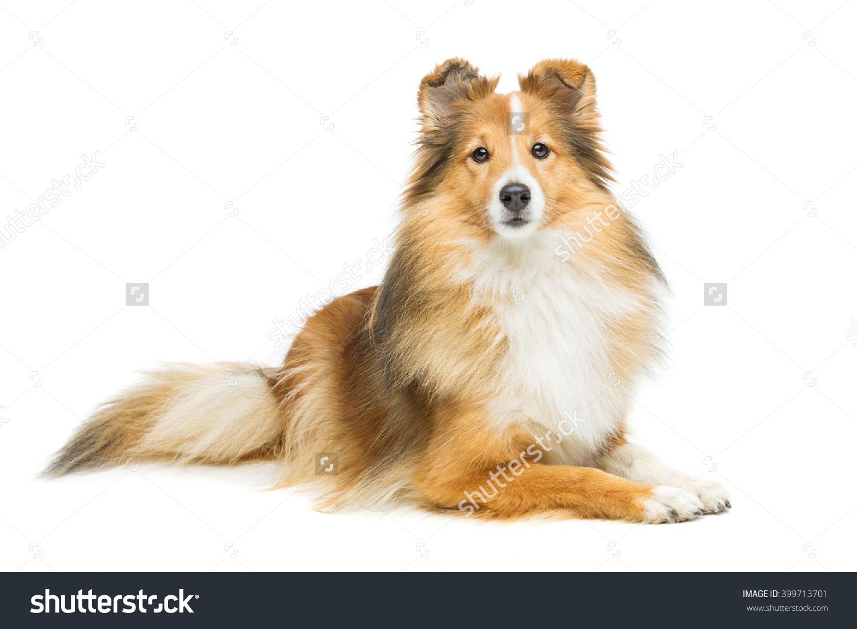 stock-photo-bull-terrier-on-a-white-background-237541759.jpg