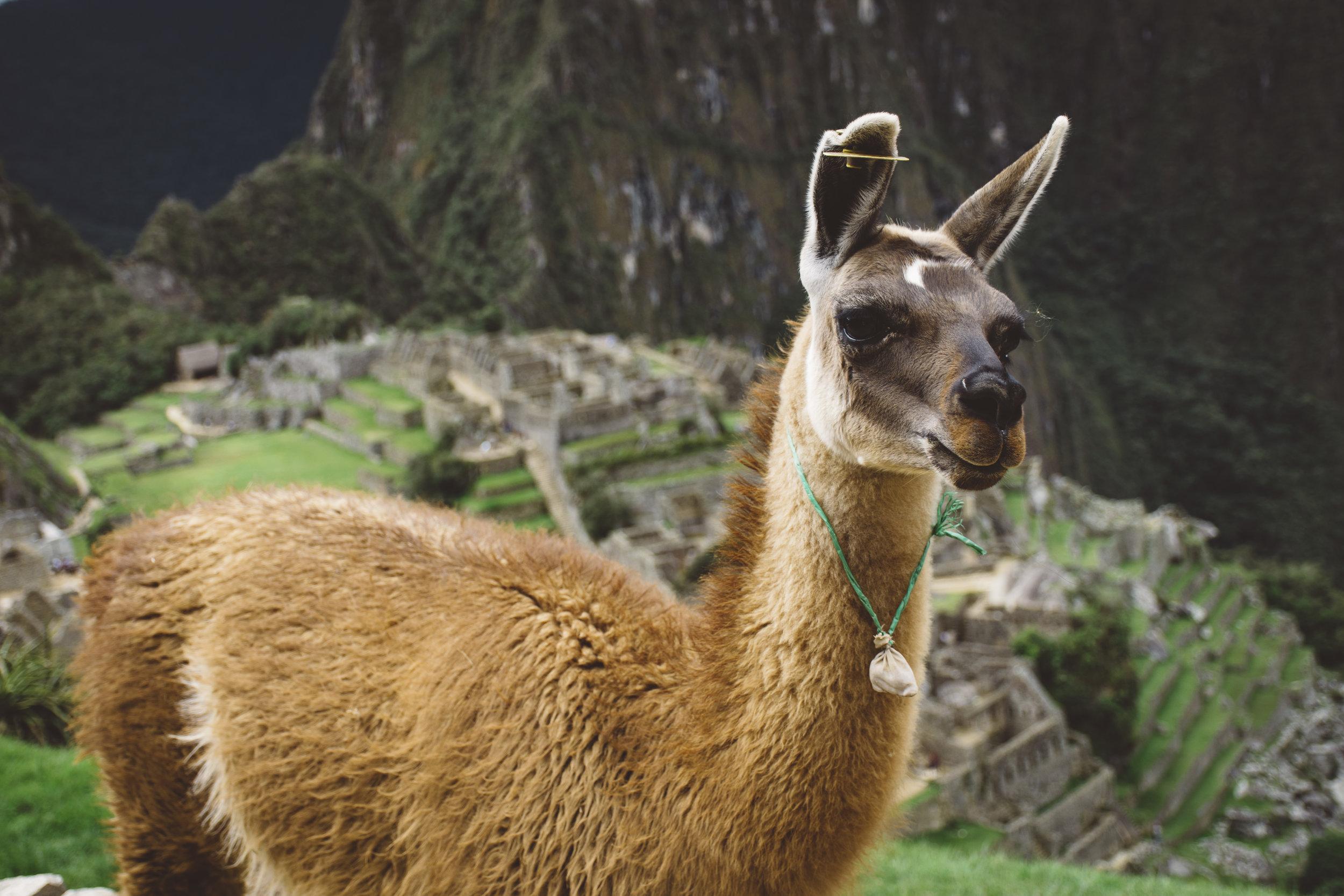 Hello, adorable alpaca (or maybe llama?)
