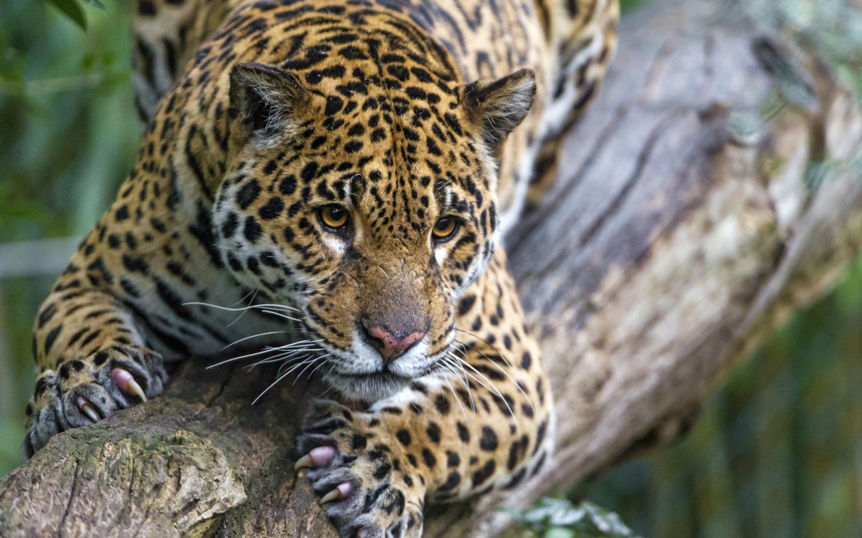 defenders-leopard.jpg