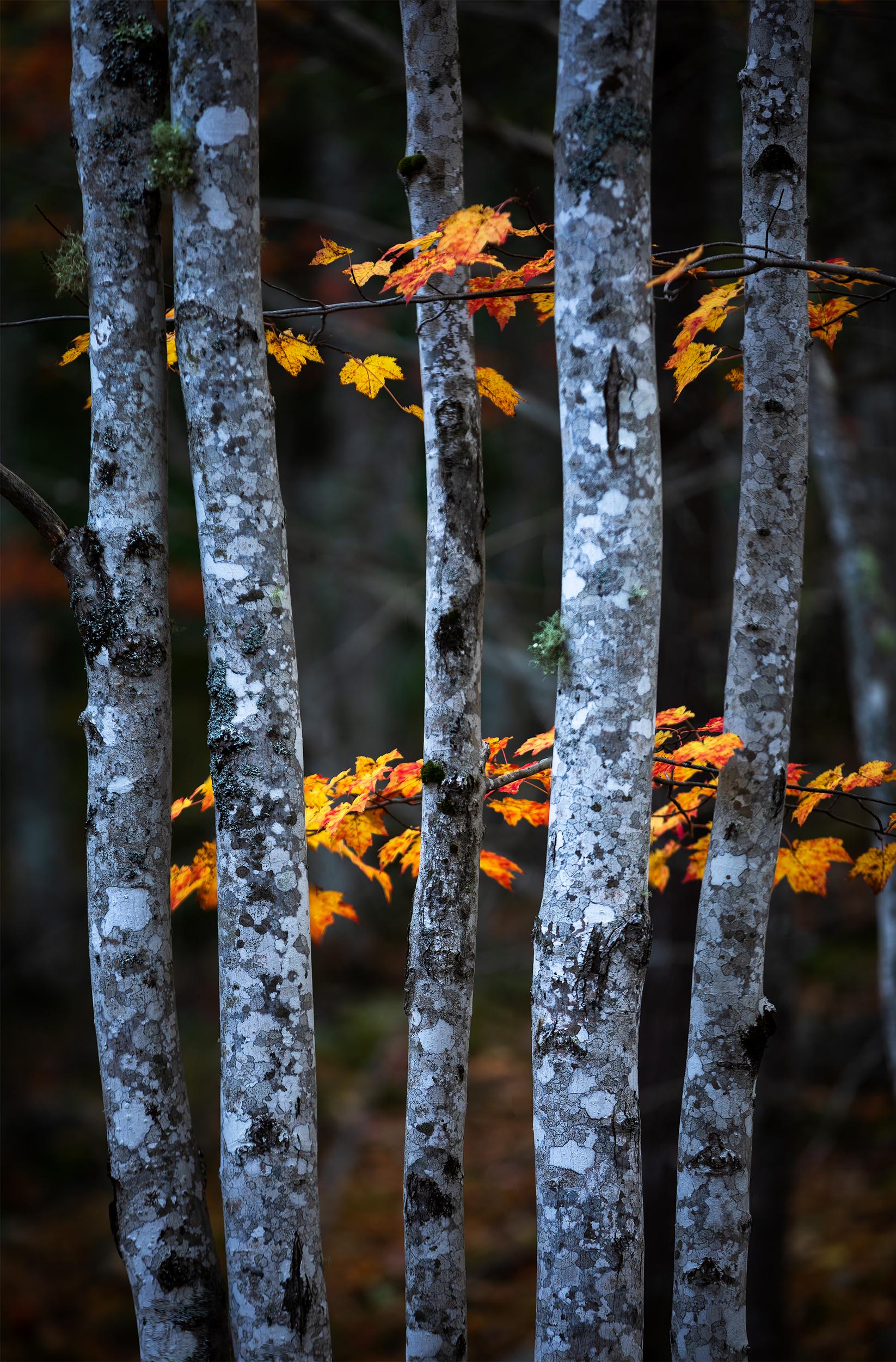 Acadia Maples.jpg