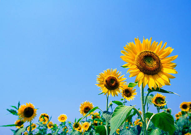 sunflower-with-blue-sky-roanoke-va-home-health-care.jpg