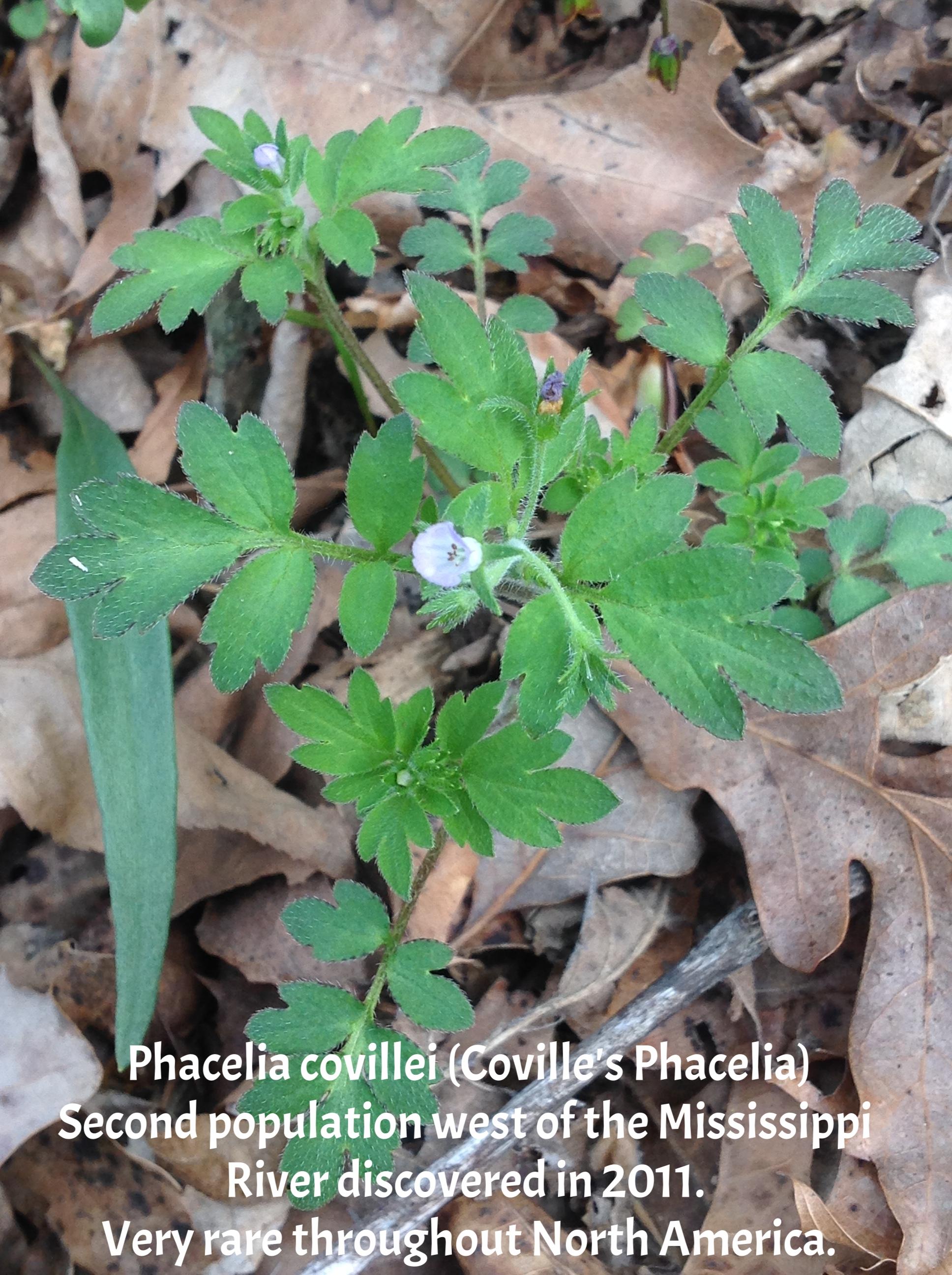 Phacelia covielii-Barnabee.JPG