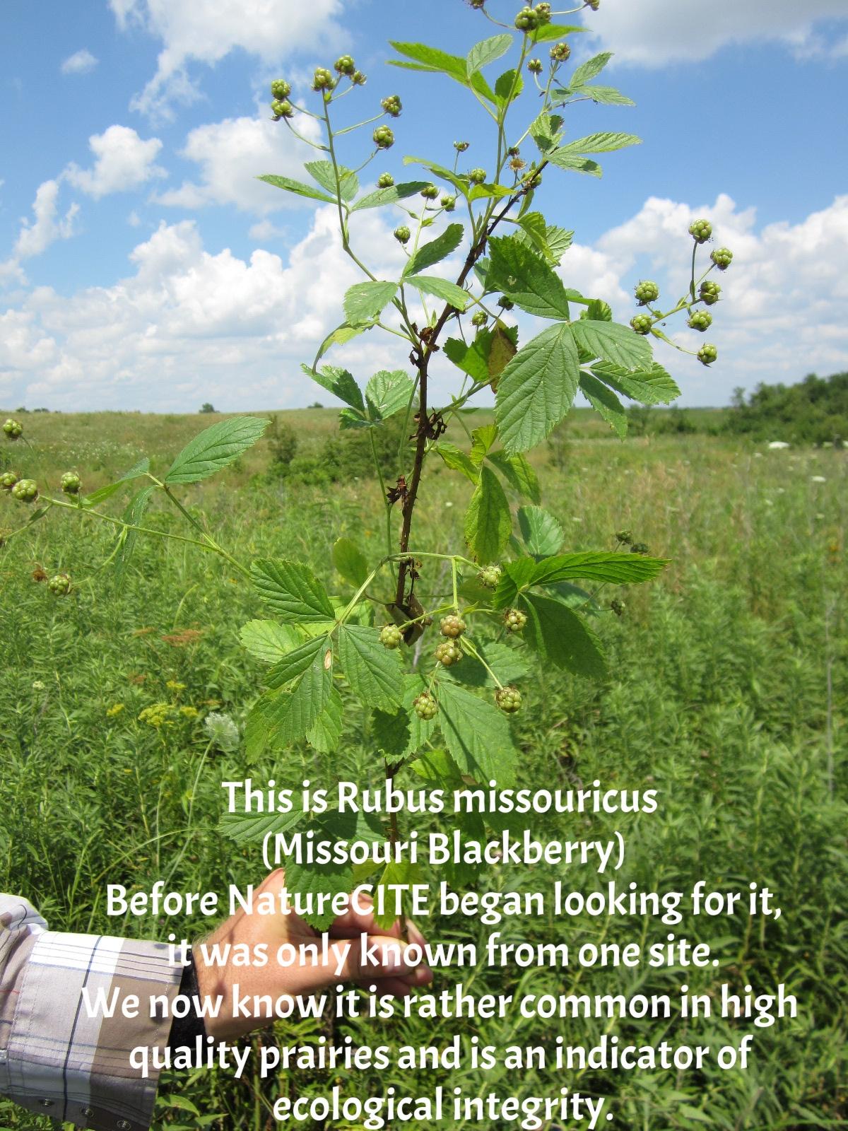 Rubus missouricus Dunn Ranch 1.JPG