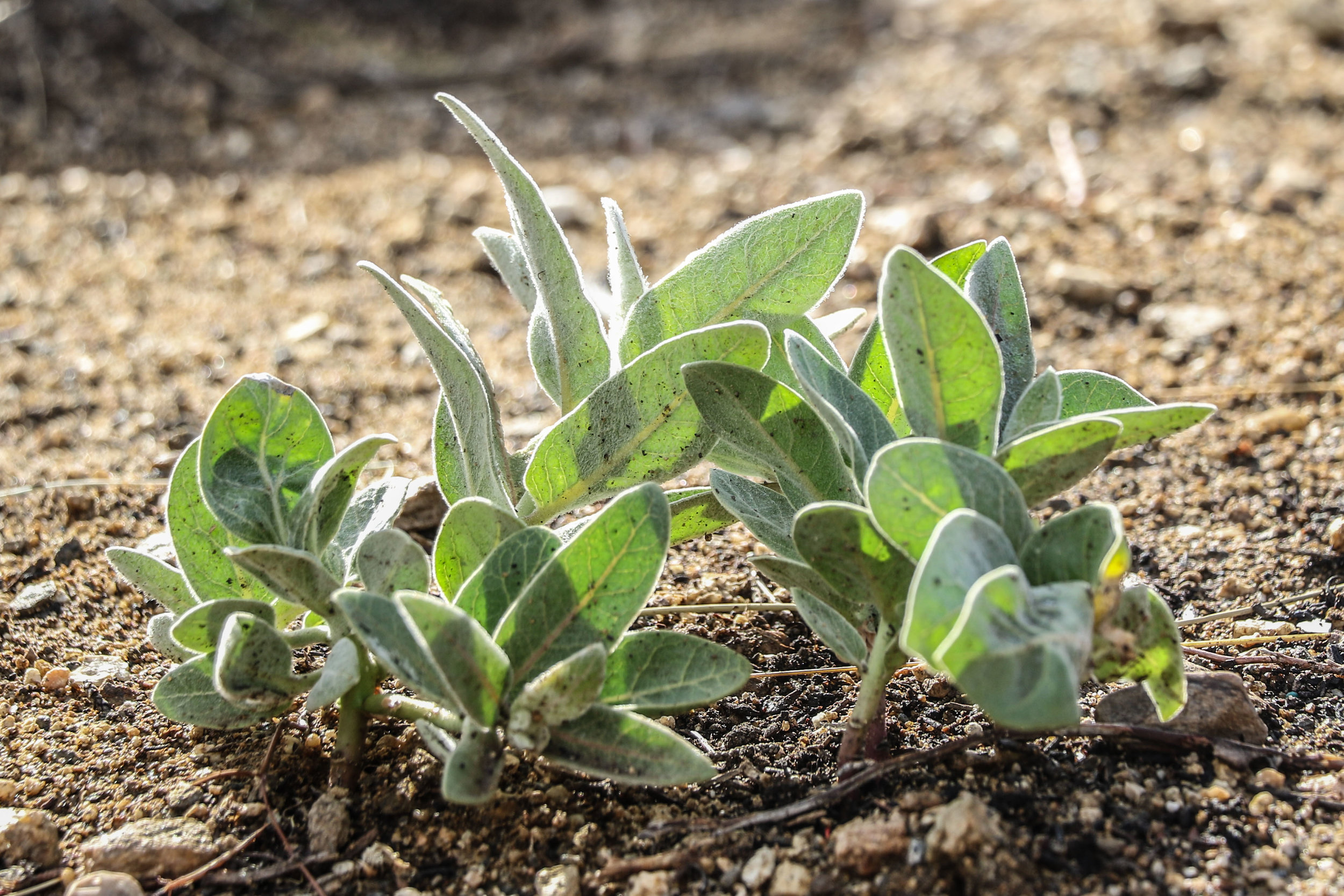 Woolly milkweed grows in the Puma Canyon Ecological Reserve