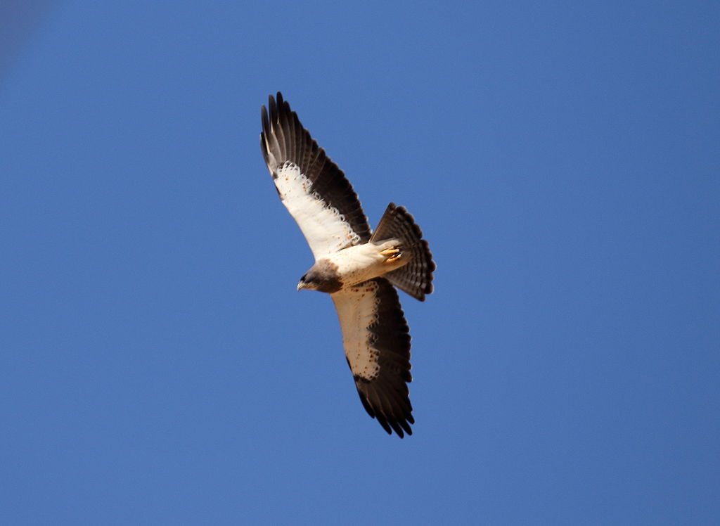 Swainson's Hawks are commonly spotted with Turkey Vultures. Notice the light leading edge on the wings.Turkey Vultures have a dark leading edge. Photo courtesy of Wikimedia Commons.