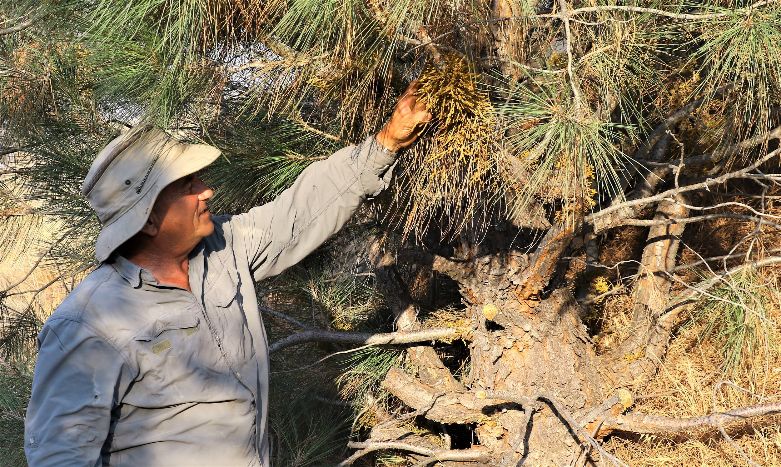 July 2018 Habitat Works volunteer, Tom Persons, talks about the relationship of dwarf mistletoe with gray pine trees.