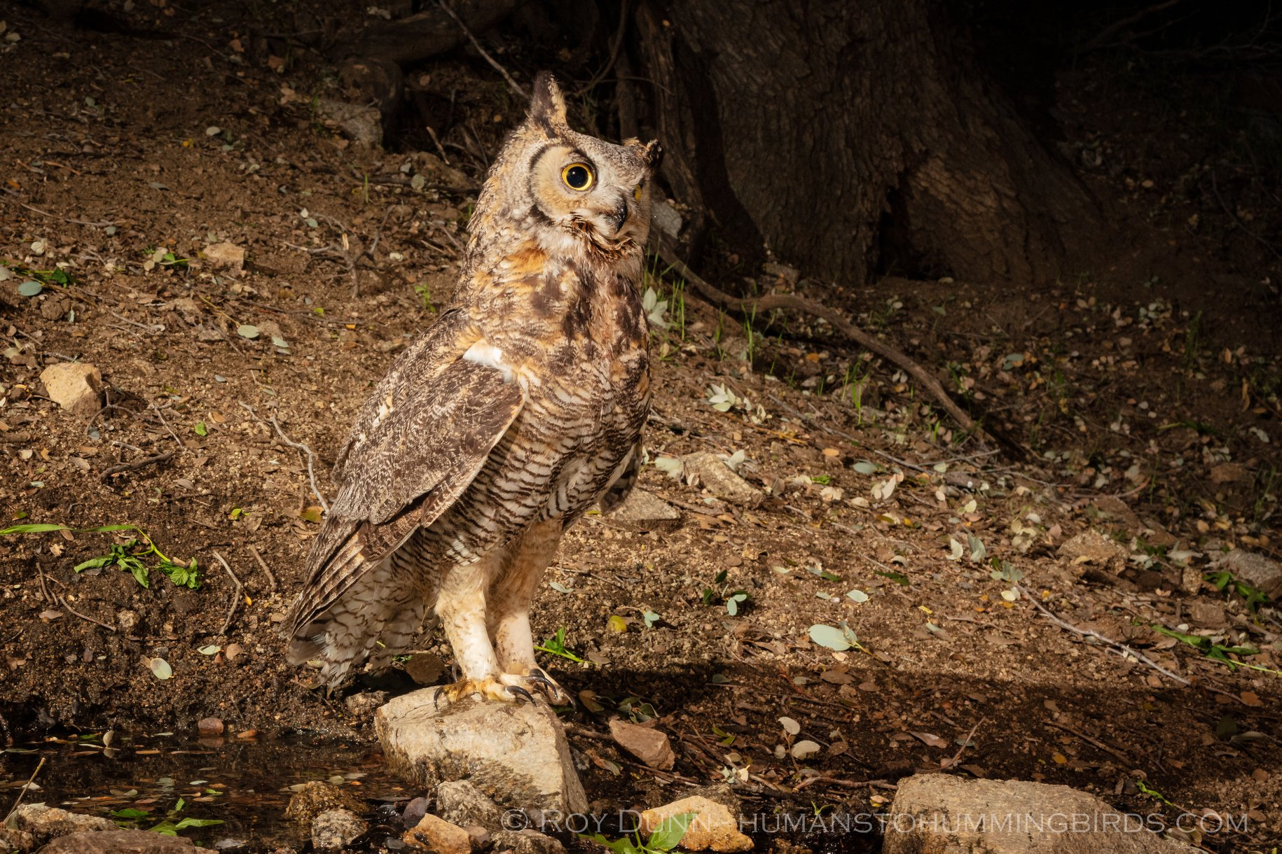 A great-horned owl at a spring on land we have conserved. Photo credit: Roy Dunn-HUMANSTOHUMMINGBIRDS.COM