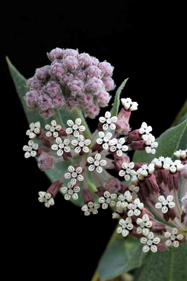Ascelpias vestita, the woolly milkweed, is an important plant for the monarch butterfly. Milkweed is the only plant that the monarch larvae can eat. Transition Habitat Conservancy actively monitors caterpillars and milkweed populations every year in an effort to maintain healthy monarch migration corridors.