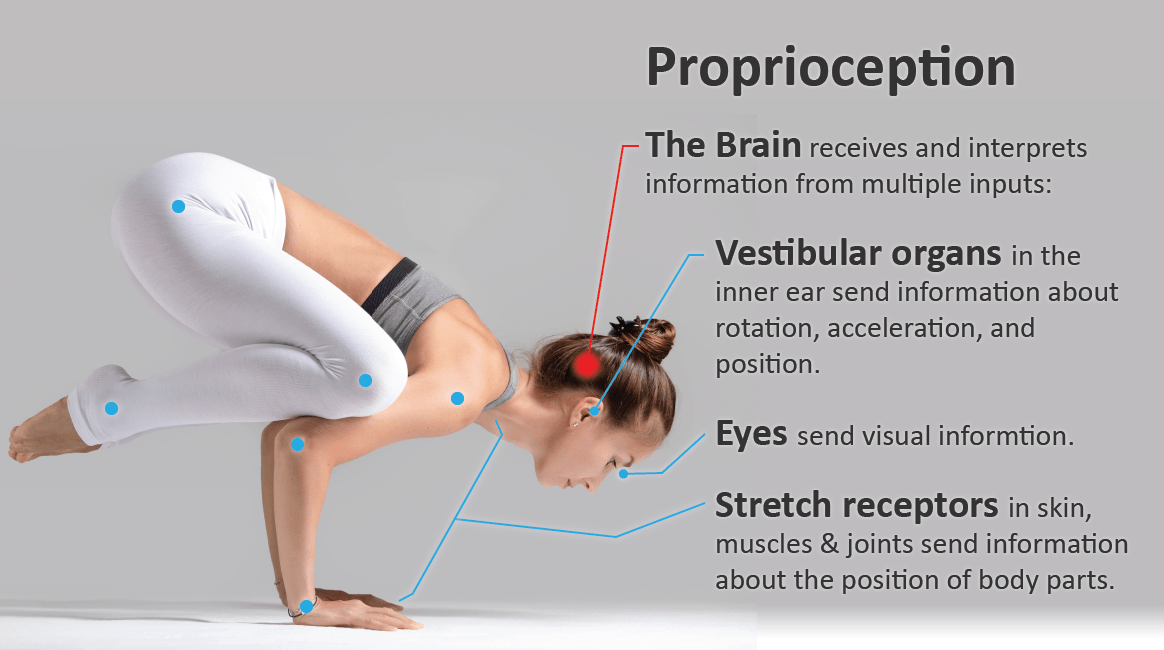 proprioception Credit - University of Utah.png