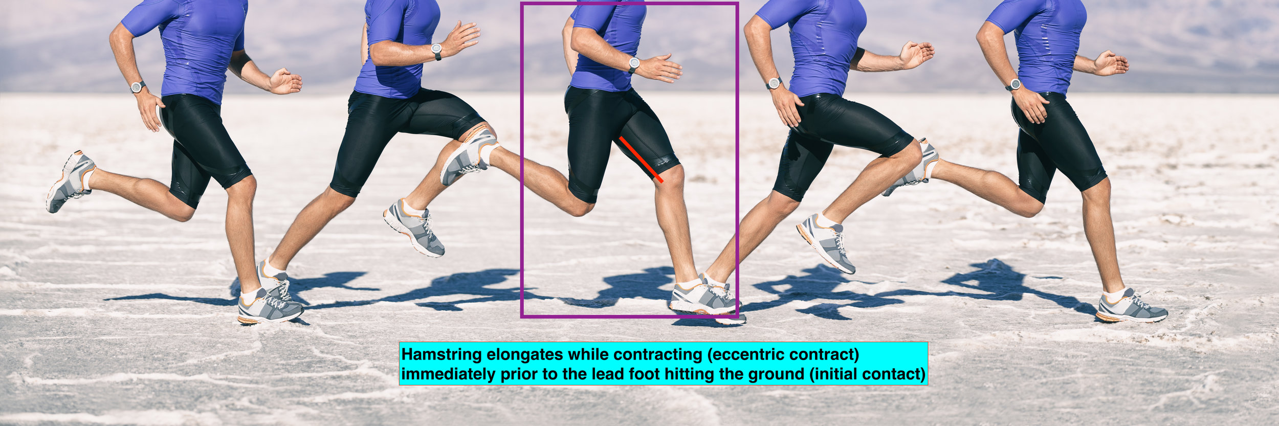 Running gait biomechanics eccentric HS.jpeg