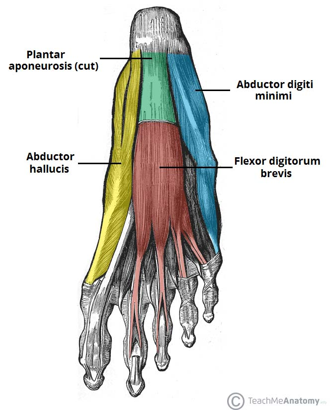 First-Layer-of-Plantar-Muscles.jpg