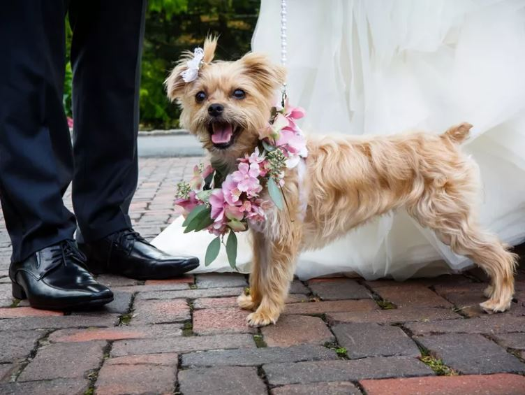 A dog with flower wreath at a wedding