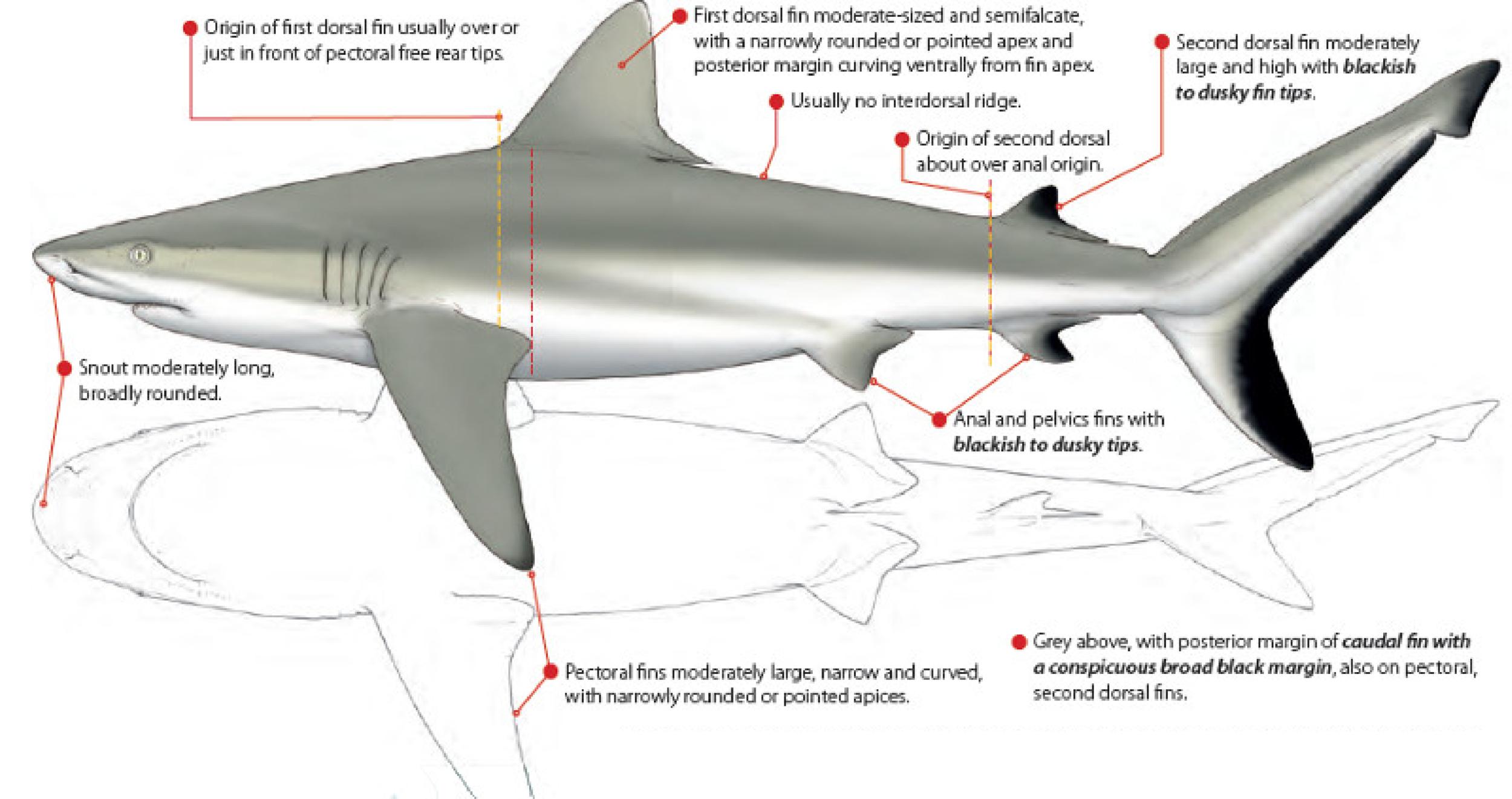 Carcharhinus amblyrhynchos.jpg.pagespeed.ic.PaJJryUKMa.png