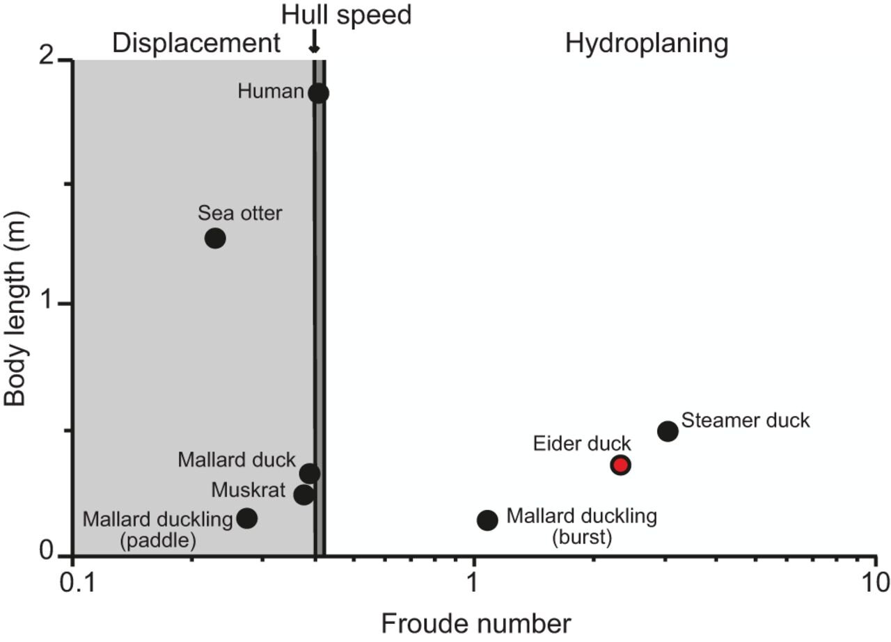 Comparison of swimming performance for species swimming at the water surface.  Common eiders are shown as a red point. Hull speed occurs at a Froude number of 0.4–0.45; below this range, the swimmer acts like a displacement hull, while a Froude number of 0.6–1.0 is considered to be semi-planing as the body is supported by both hydrodynamic and hydrostatic lift forces. Above a Froude number of 1.0, the body is supported solely by hydrodynamic lift and hydroplanes along the surface. Modified from Aigeldinger and Fish (1995).