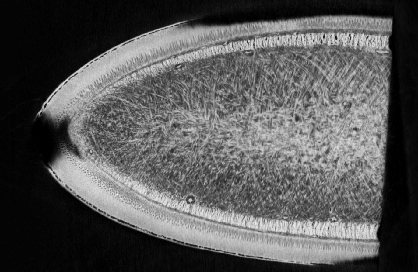 μCT images of the mid‐span location of  P. phocoena  at the leading edge subsections(visualizing the chordwise sectional face). The chordline used for measurement of acute fiber angles was perpendicular to the cut edge of each tissue section.