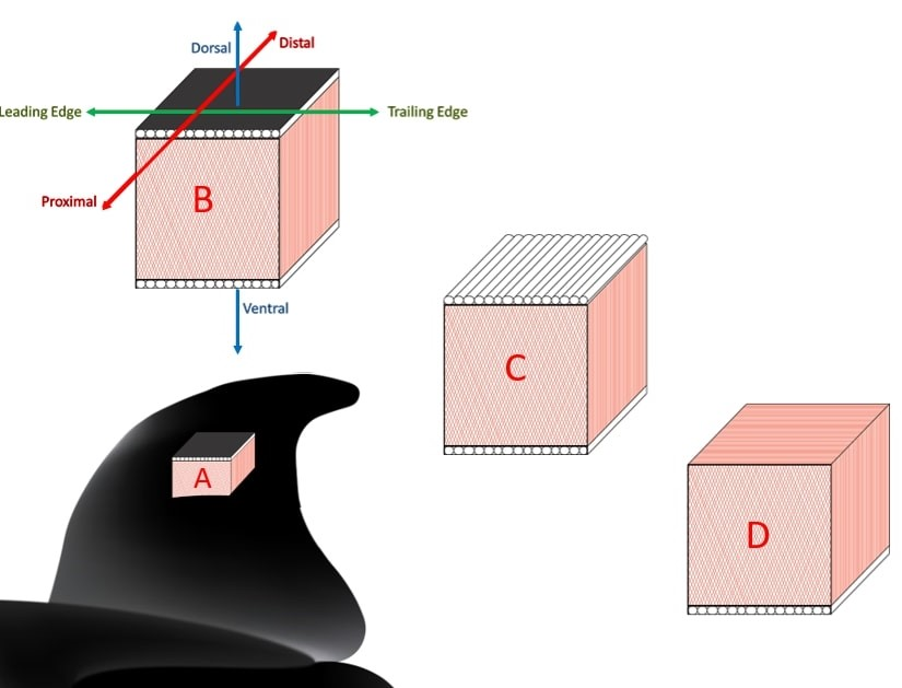 Illustrations of a section of generalized cetacean fluke blade material at (a) a mid‐chord location and subsection.  (b) Arrows show the spanwise (proximal to distal), chordwise (leading edge to trailing edge), and dorso‐ventral (dorsal to ventral) directions of the tissue as well as a representation of the black epidermis. (c) The ligamentous fiber layer is viewable, with white fiber bundles oriented along the spanwise axis of the fluke. (d) The ligamentous layer has been removed and the core layer fiber sheets appear to be oriented along the chordwise axis when inspected along the dorsal sectional face