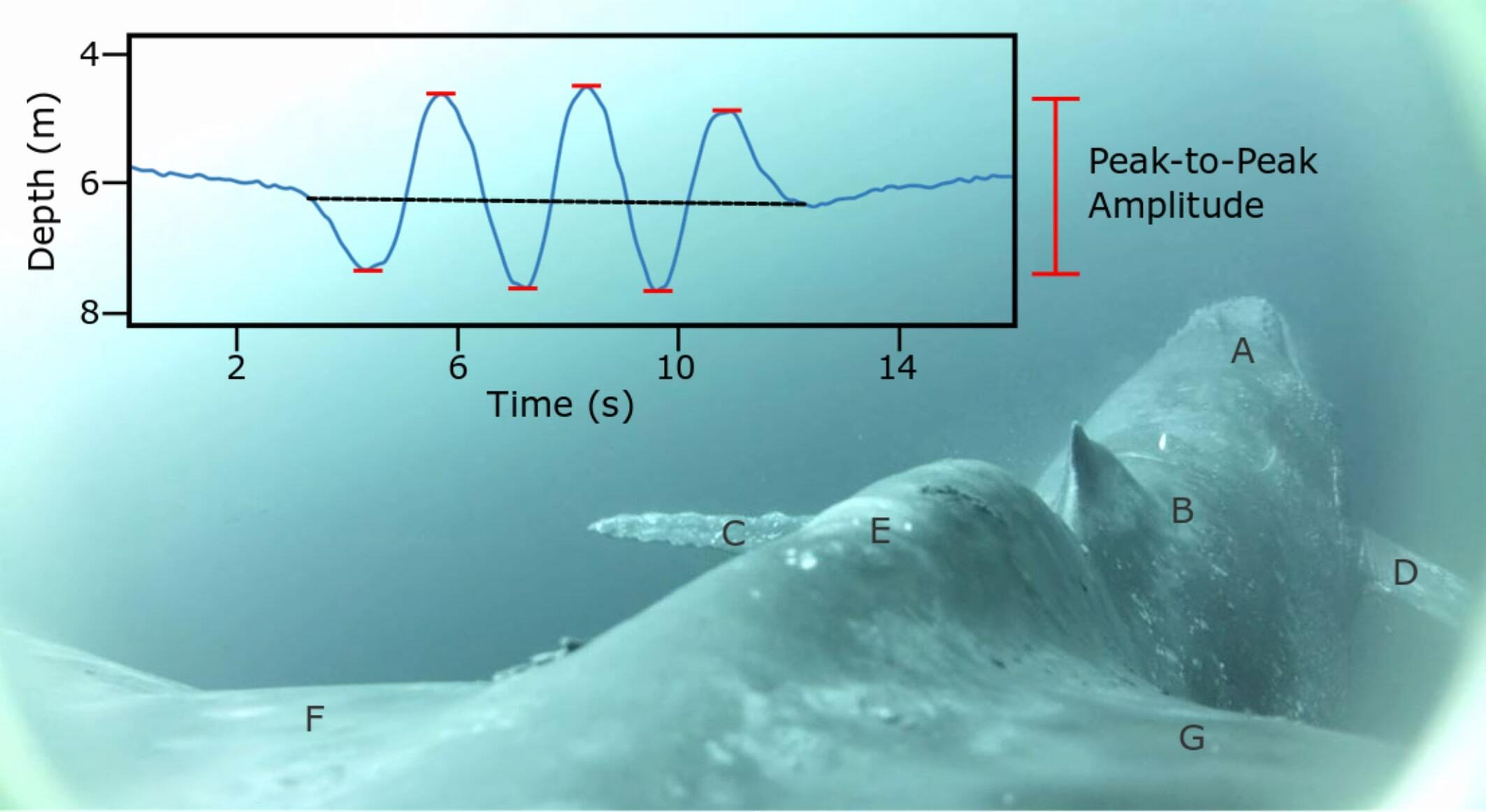 Schematic showing our peak-to-peak amplitude measurement methods.  The background is a video still from the deployment of interest. Letters correspond to the: rostrum (A), dorsal fin (B), left flipper (C), right flipper (D), peduncle (E), left fluke blade (F), right fluke blade (G).