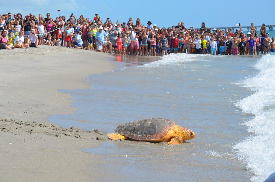 loggerhead-marinelife-center-turtle-release.jpg