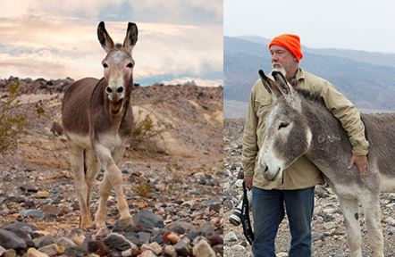 Mark Meyers, the Executive Director of Peaceful Valley Donkey Rescue, with a wild burro in the Mojave National Preserve near Death Valley National Park in eastern California along the Nevada border. These burros needed to be relocated.