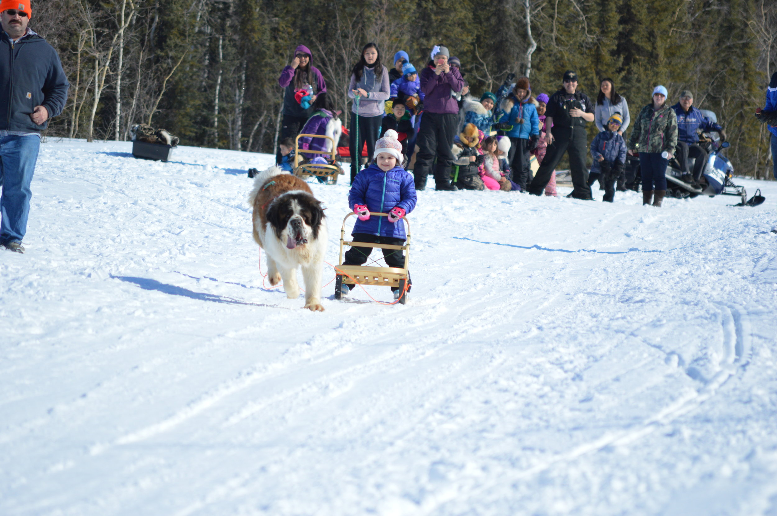Huslia Jr. Carnival - one-dog racer with St. Bernard.
