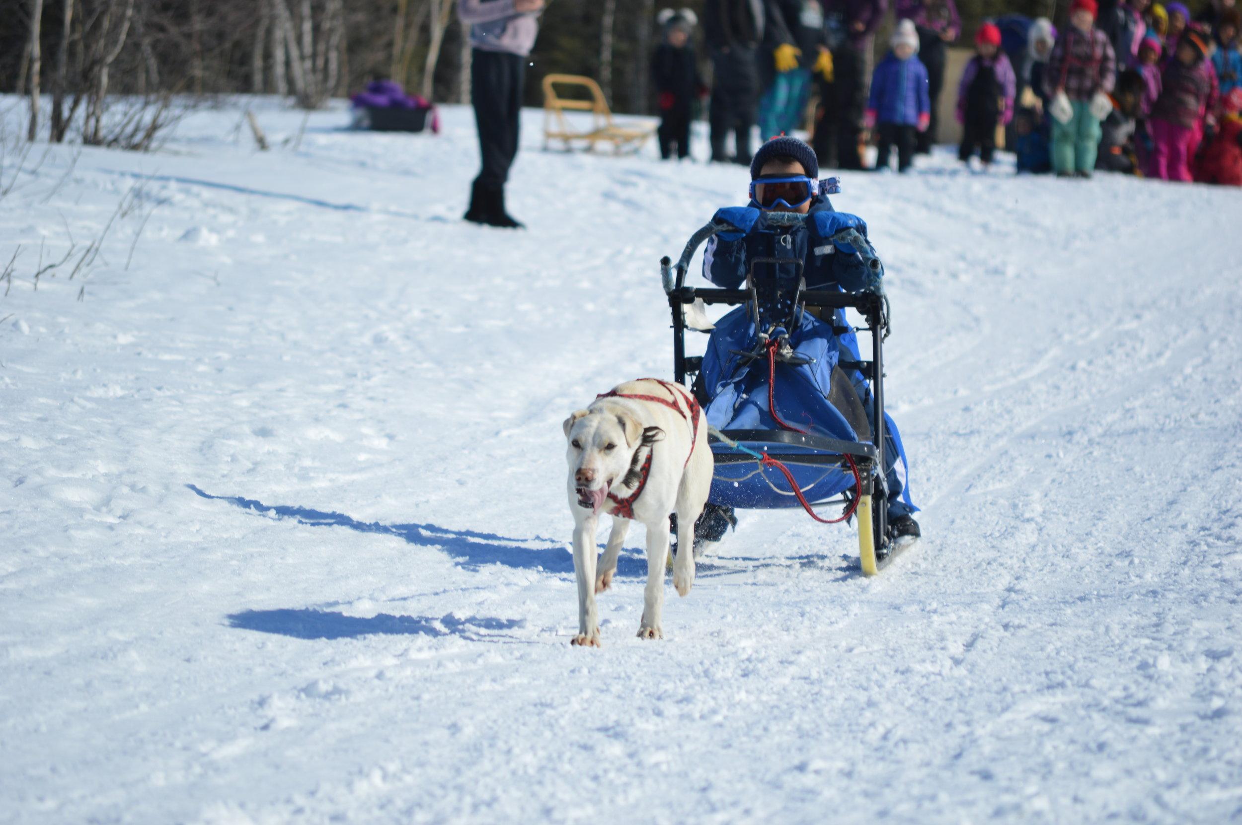 Huslia Jr. Carnival - One-dog racer on the move!