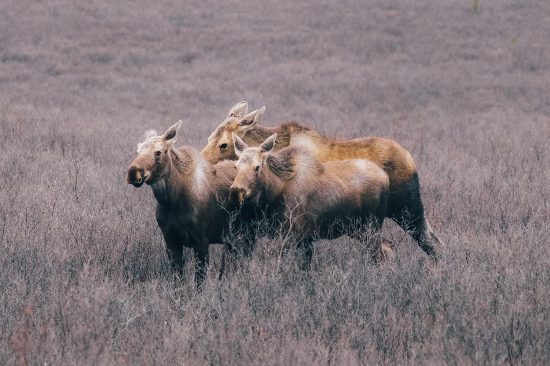 Early season in Denali National Park
