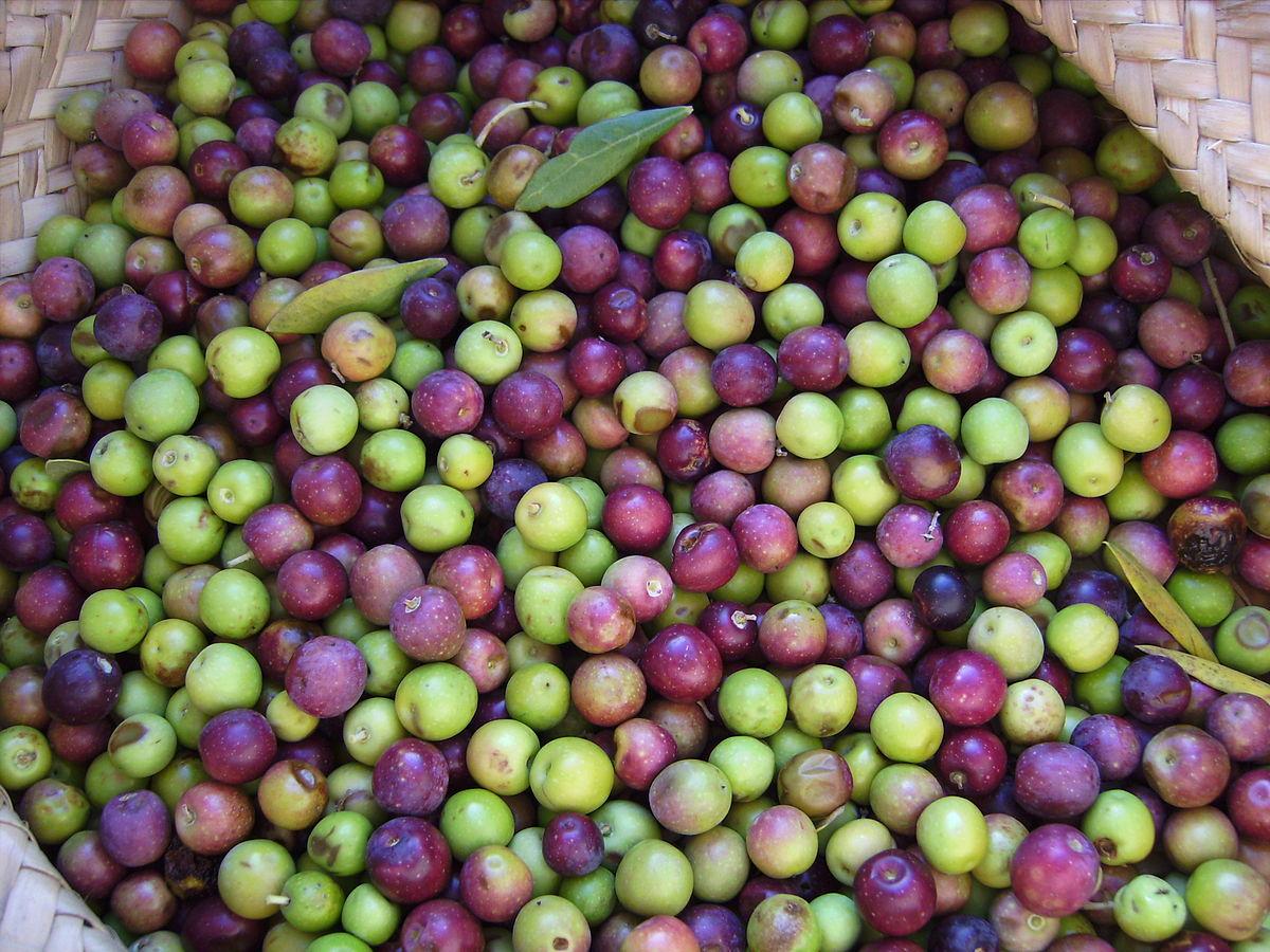 arbequina olives.JPG