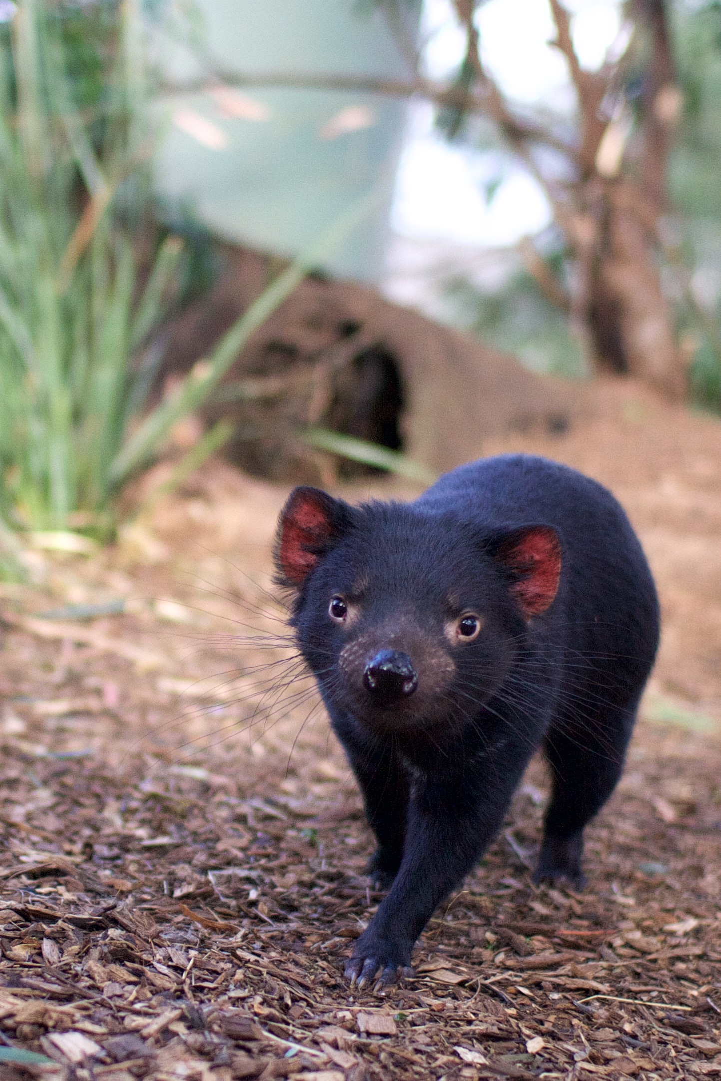 See a Tasmanian devil on our daily guided tours.