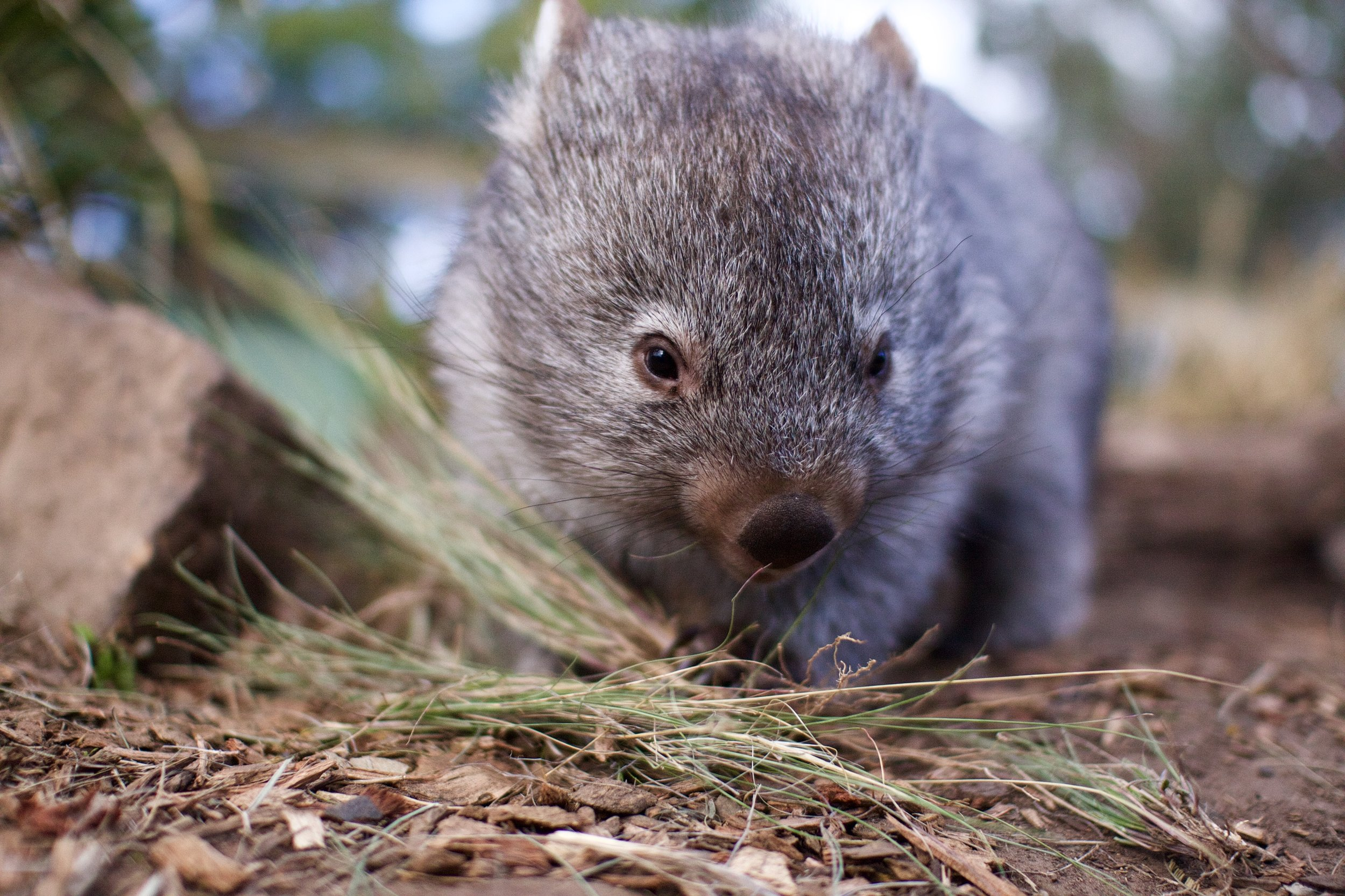 Get up close with a bare-nosed wombat!