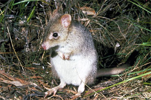 bettong picture