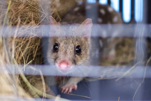 Aster, our new male Eastern Quoll from Trowunna, peeking out while we cleaned his temporary enclosure.