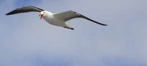 Pacific Gull photo copyright Eric Woehler