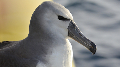 Shy Albatross photo by Eric Woehler