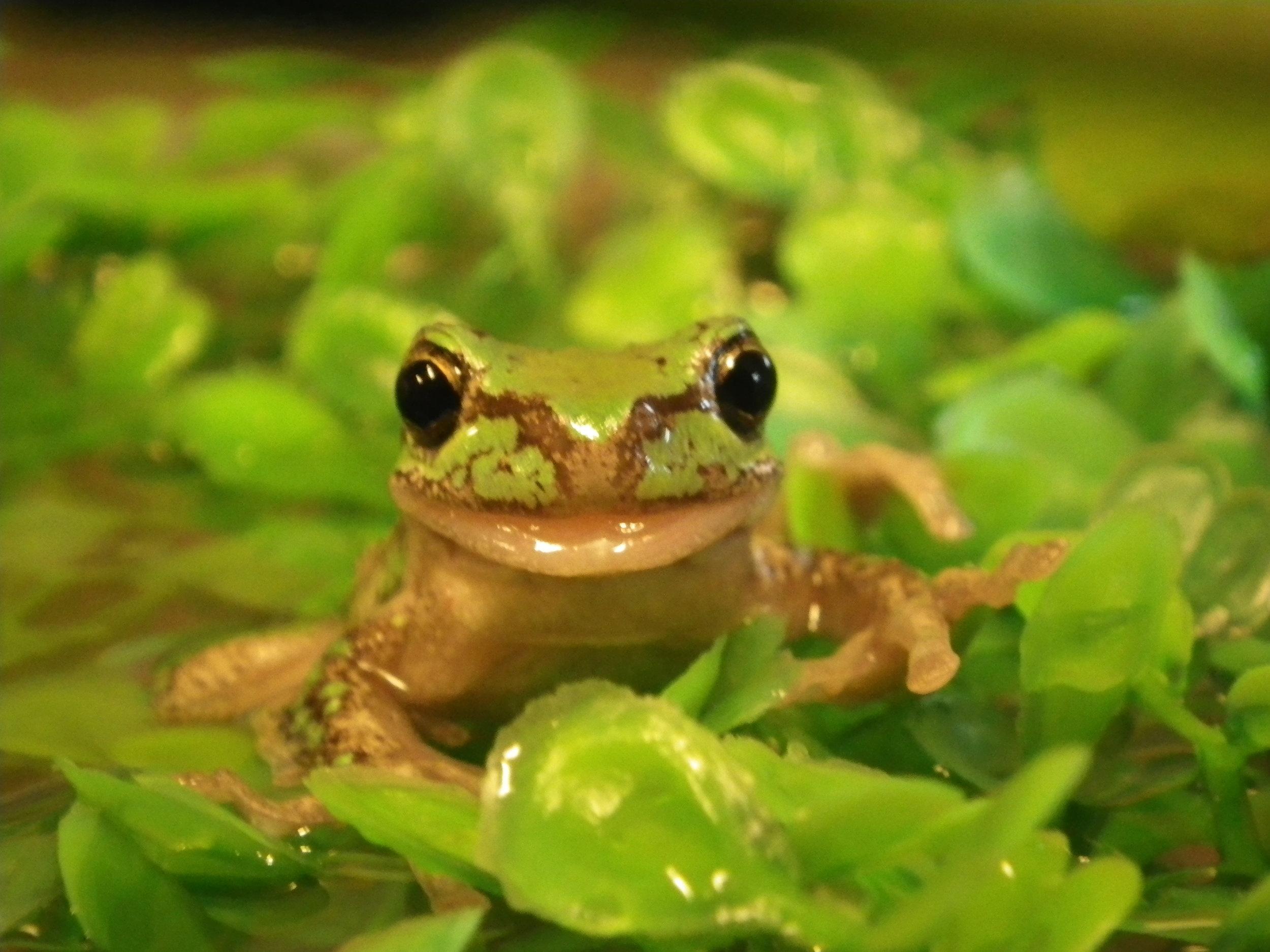 Freddo, one of our Tasmanian Tree Frogs.