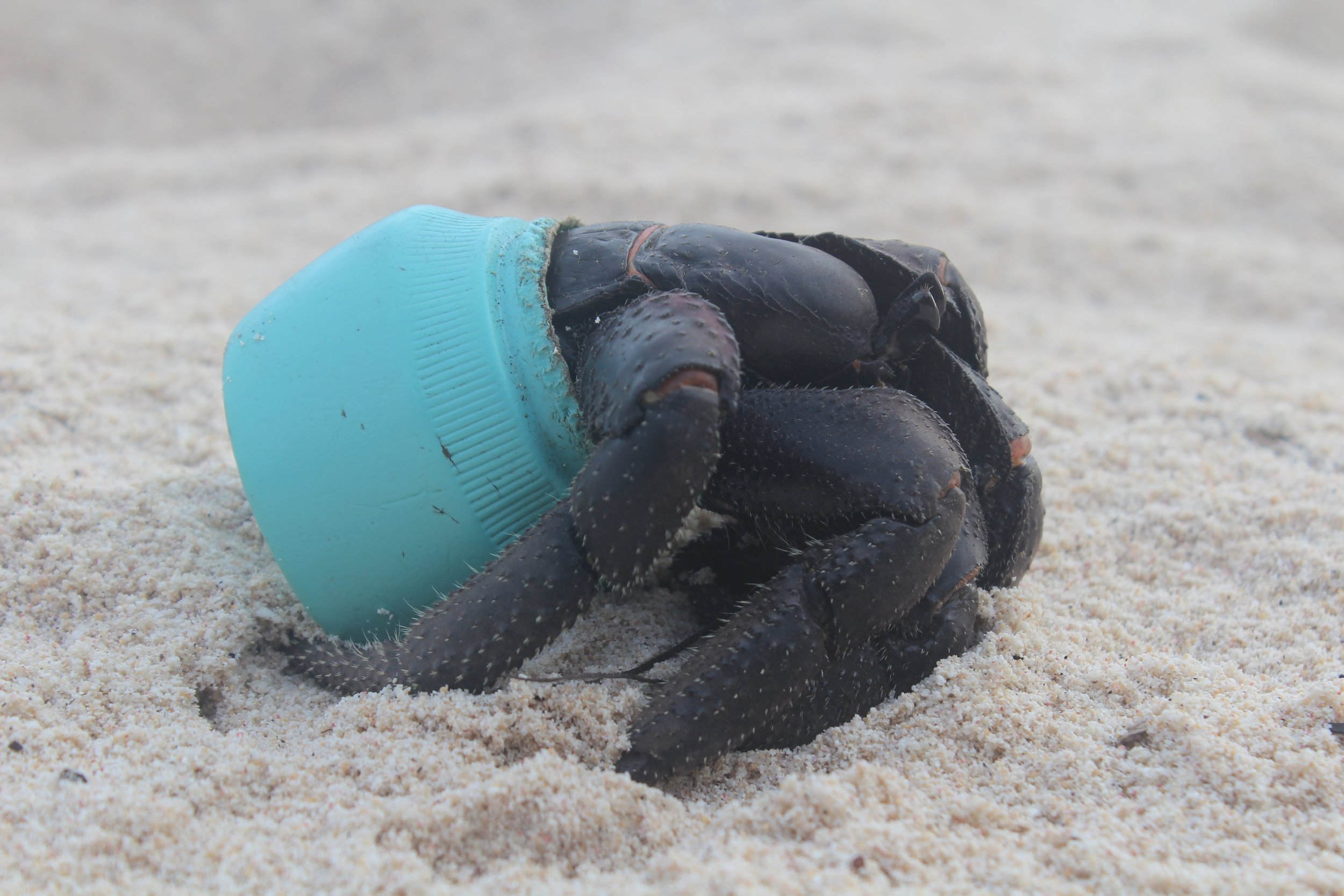 Purple hermit crab using a bottle top for a shell. Photo: Jenn Lavers.